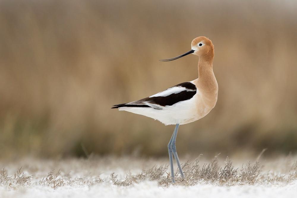 Avoceta Americana. Foto: Melissa Groo/Premios de Fotografía Audubon