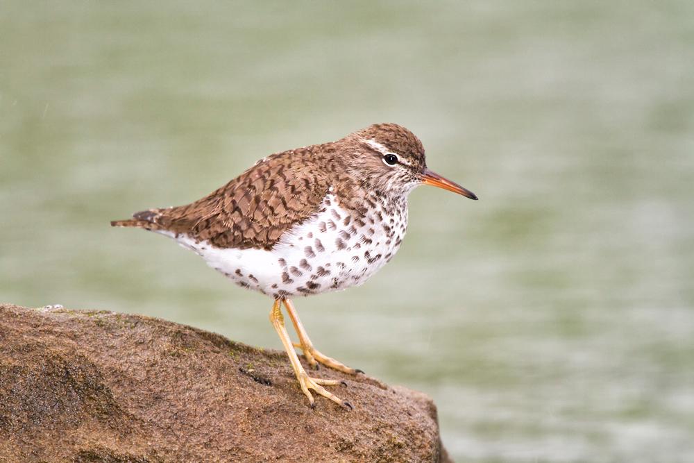 Playero Alzacolita. Foto: Charles McRae/Premios de Fotografía Audubon