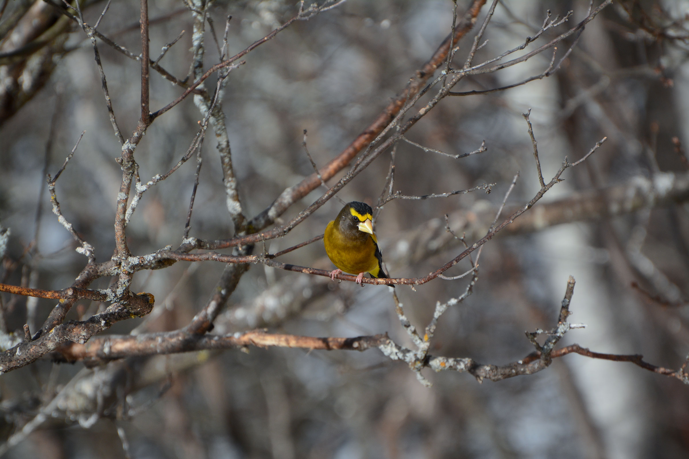 Evening Grosbeak. Kathy Webb/Great Backyard Bird Count