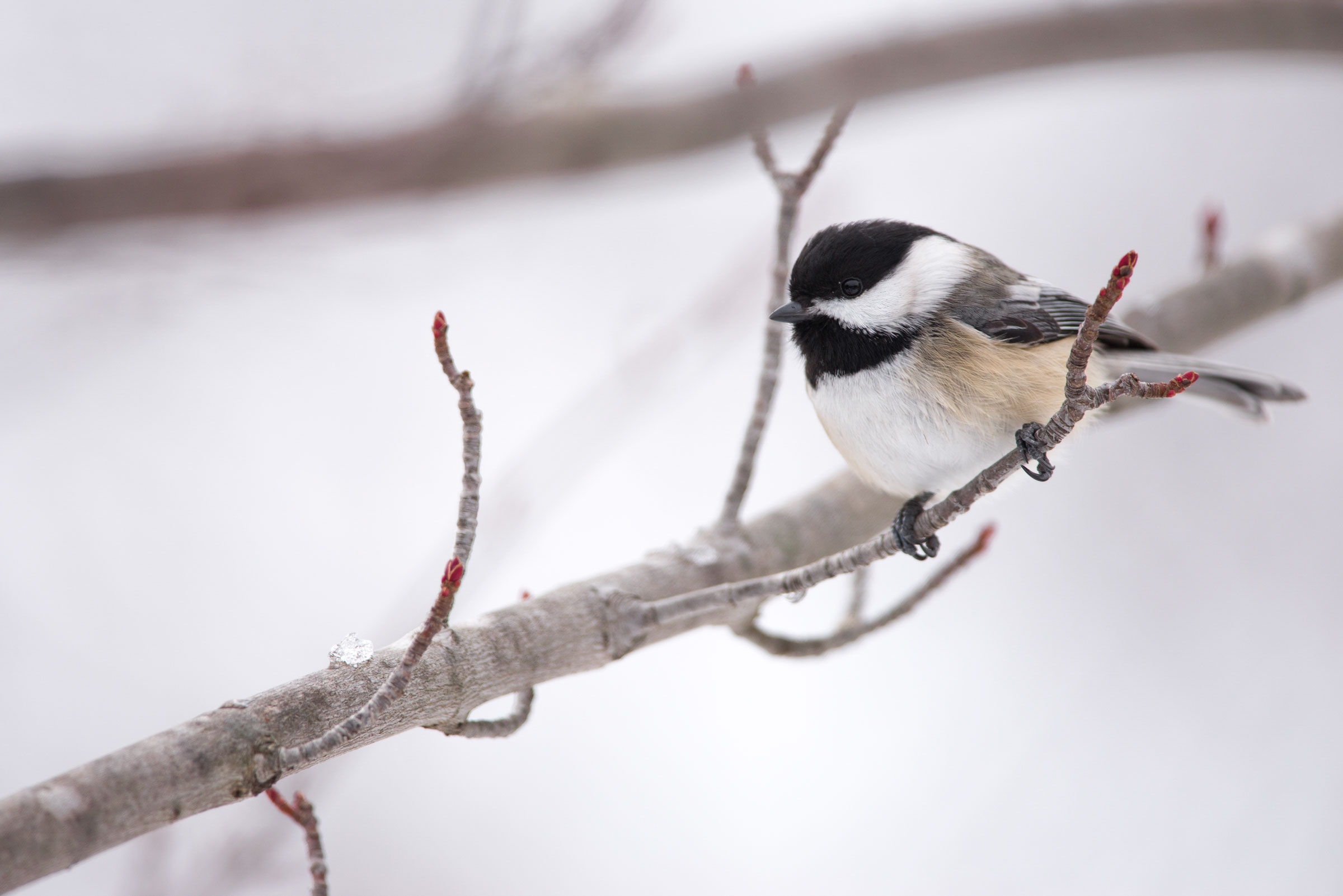 The Black-capped Chickadee is a bird of the masses, argues Canada's Parliamentary Poet Laureate. Jeff O'Keeffe/Audubon Photography Awards