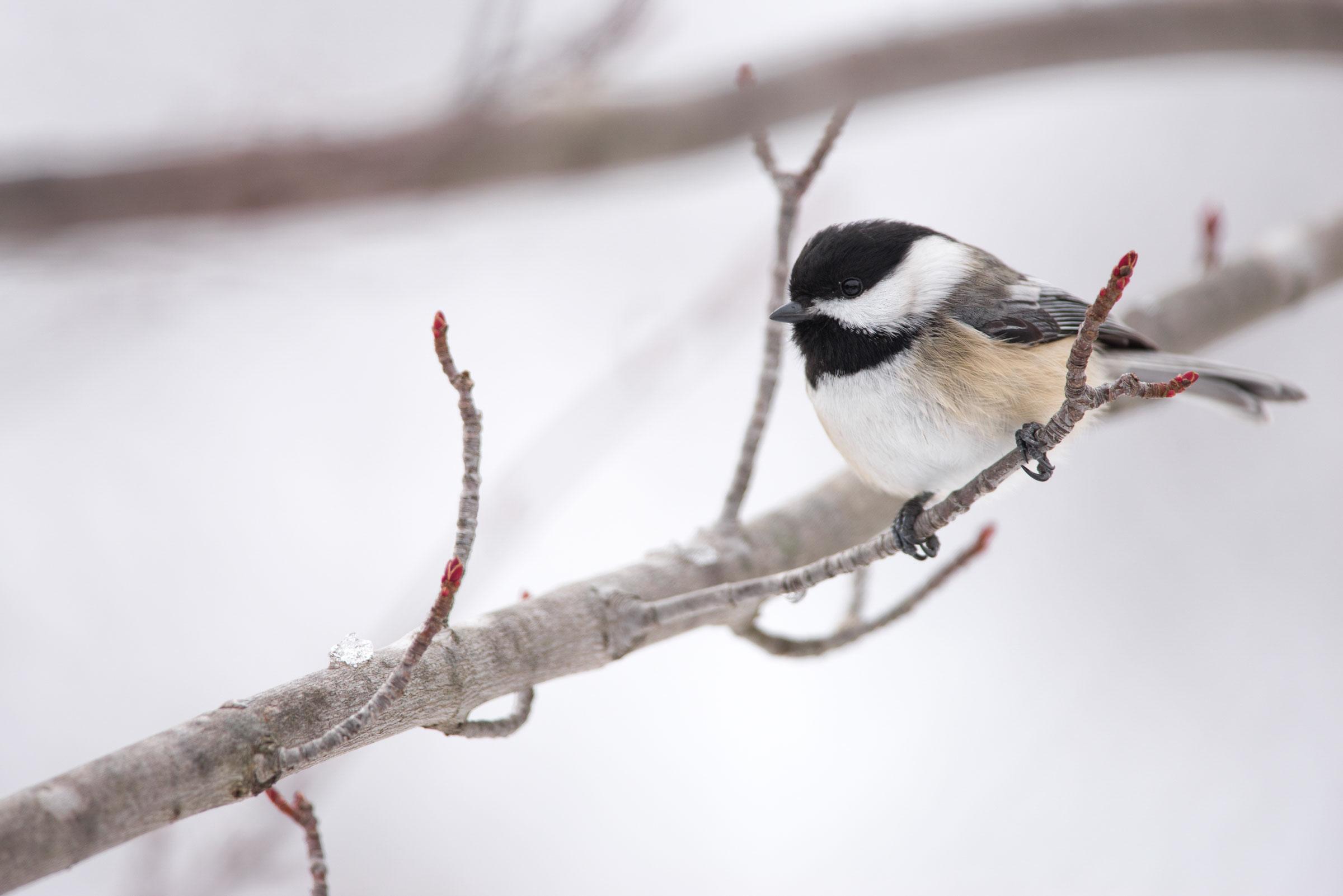 Black-capped Chickadee. Jeff O'Keeffe/Audubon Photography Awards