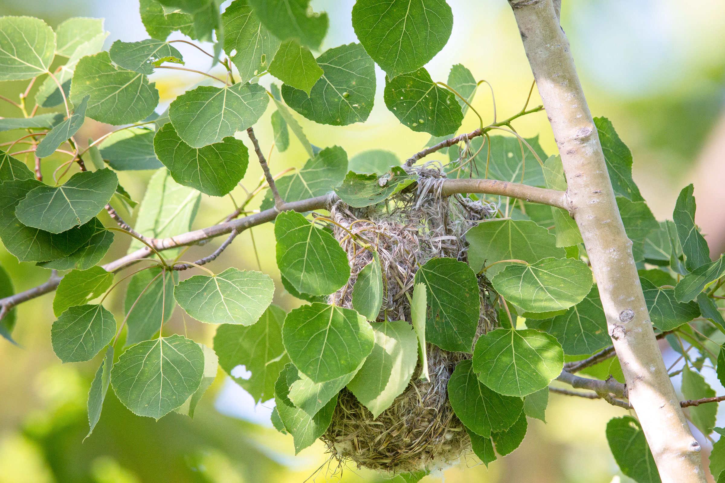 A completed Baltimore Oriole nest. Linda Freshwaters Arndt/Alamy