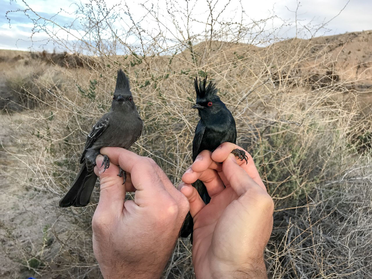 A female Phainopepla (left) and a male being banded. Dan Baldassarre