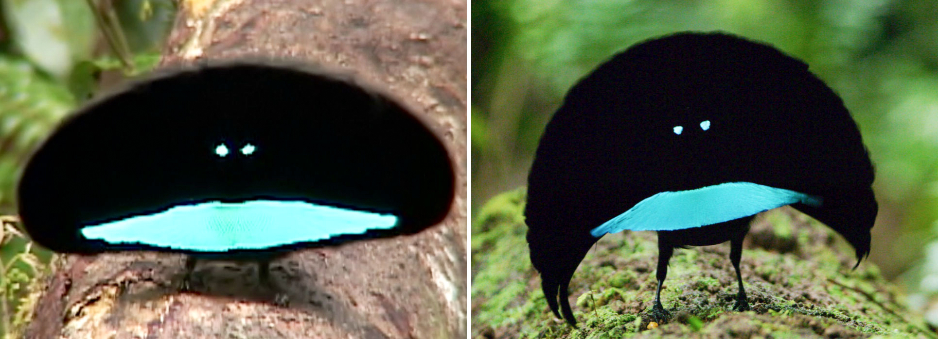 """Comparison of the black """"background"""" (cape) presentation of Superb (left) and Vogelkop Superb (right) Bird-of-Paradise. Photos: Edwin Scholes and Tim Laman"""