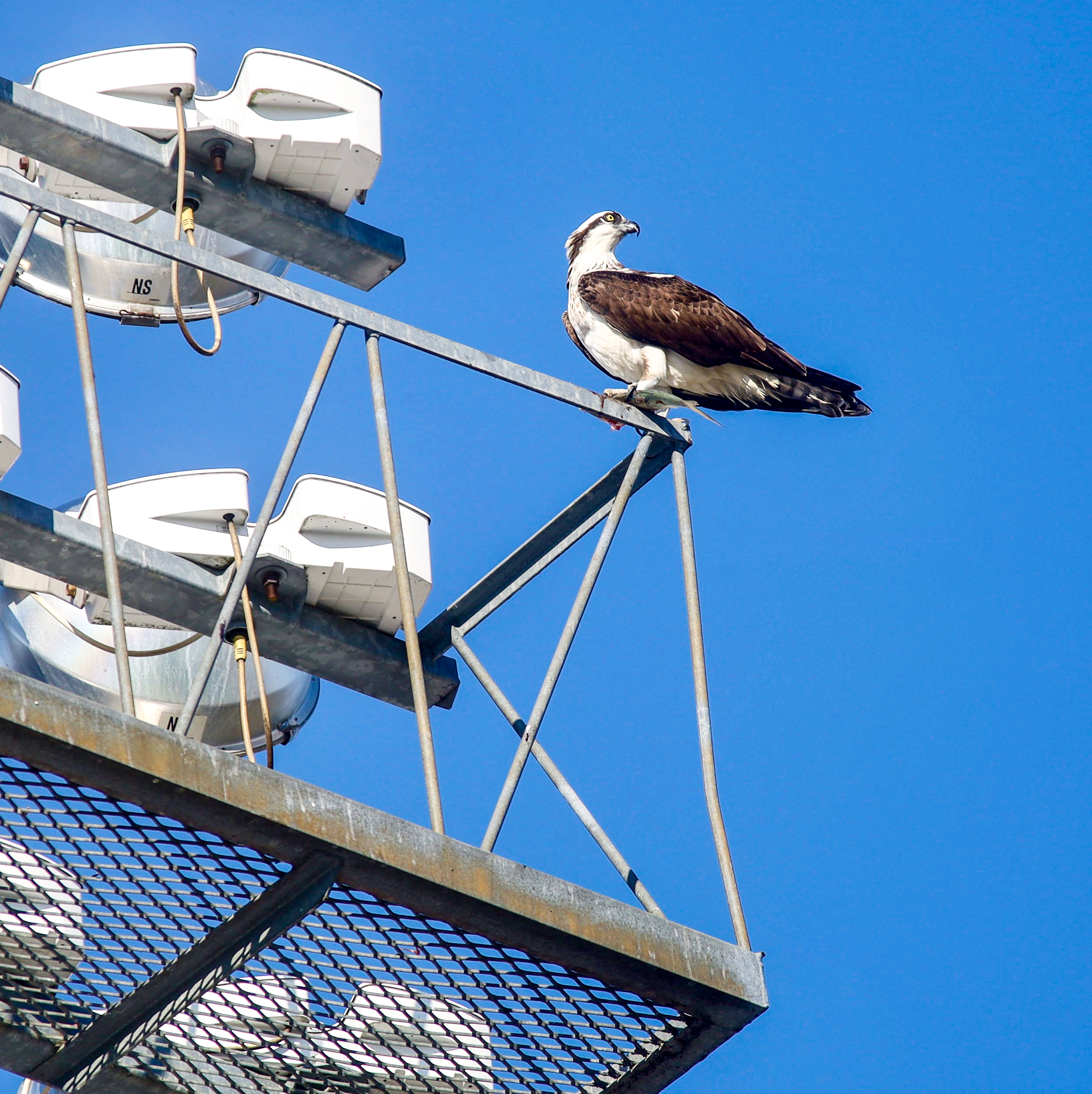 The bird that sparked McKerrow's project, an Osprey eating a midday snack. Courtesy of Joshua McKerrow