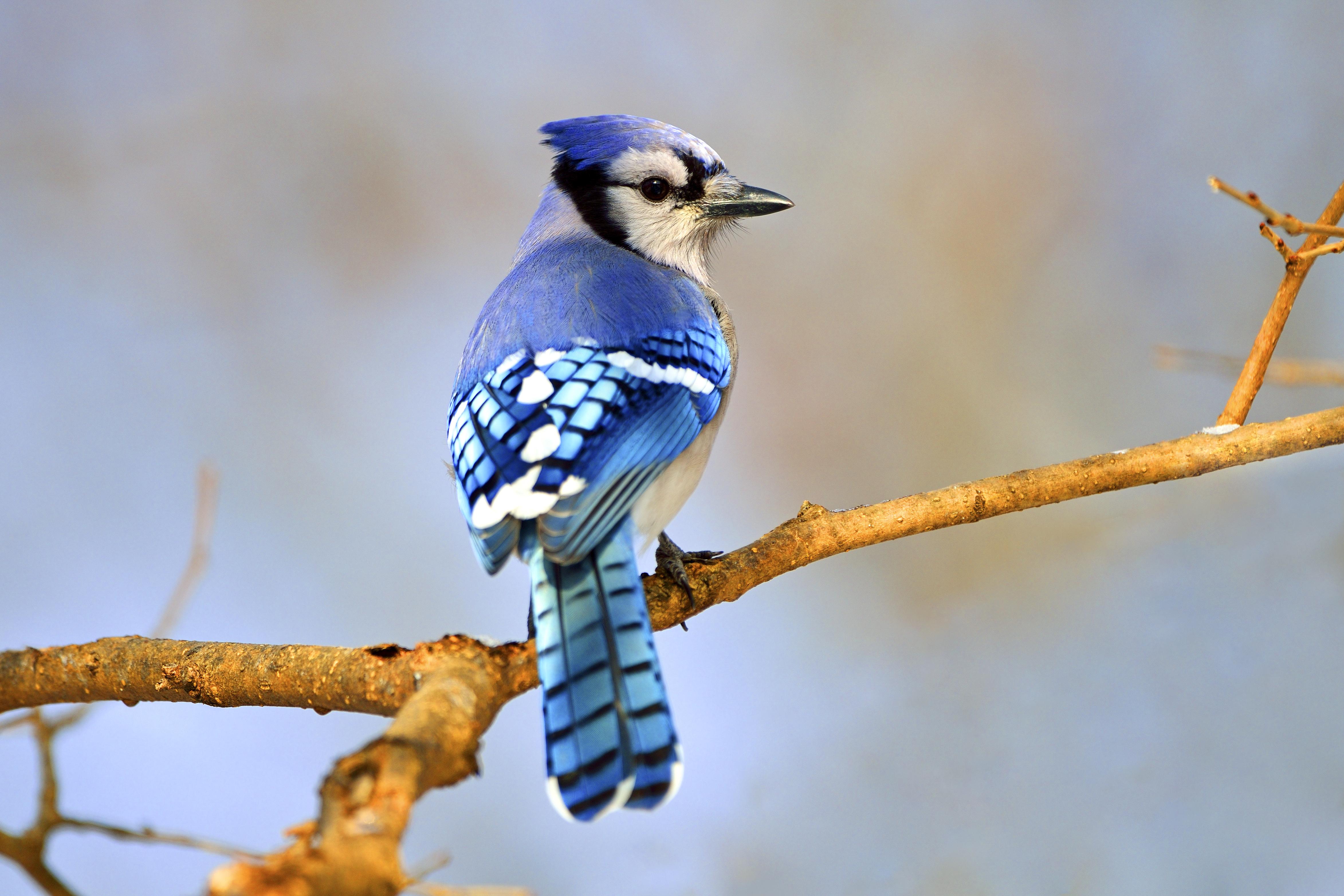 Blue Jay. Brian Kushner/Audubon Photography Awards