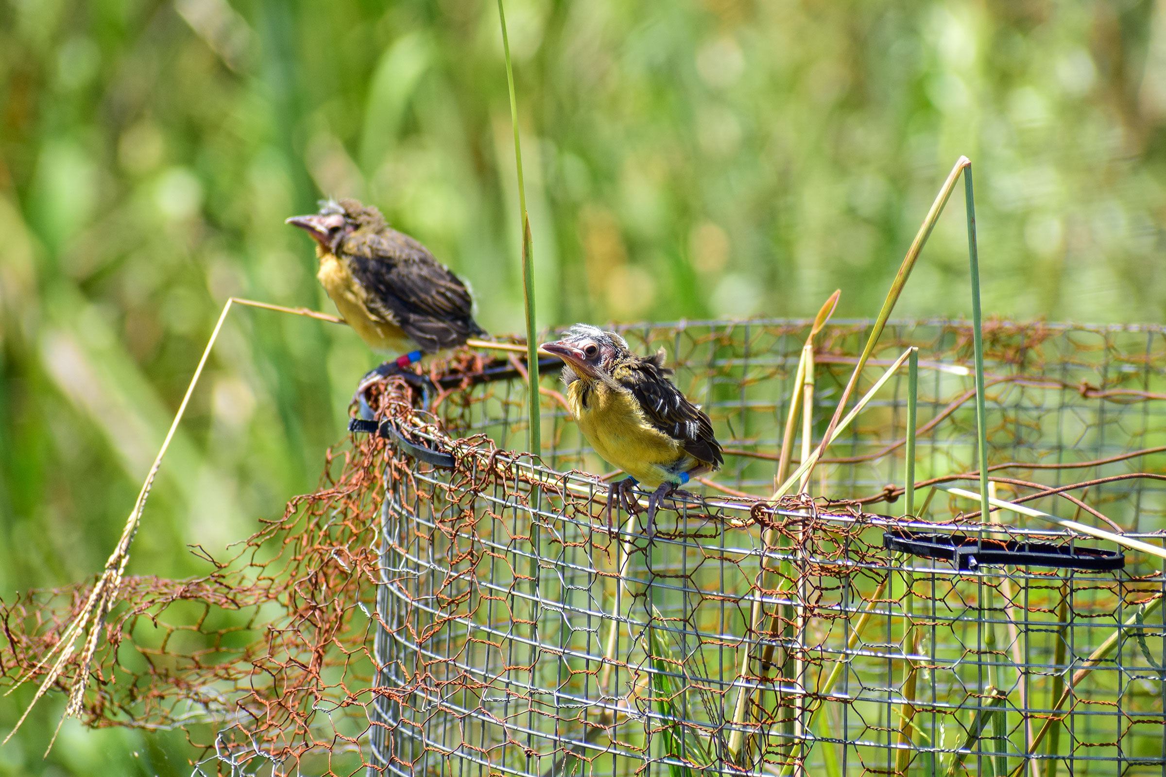 Saffron-cowled Blackbird fledglings leaving the protected nest. Proyecto Tordo Amarillo