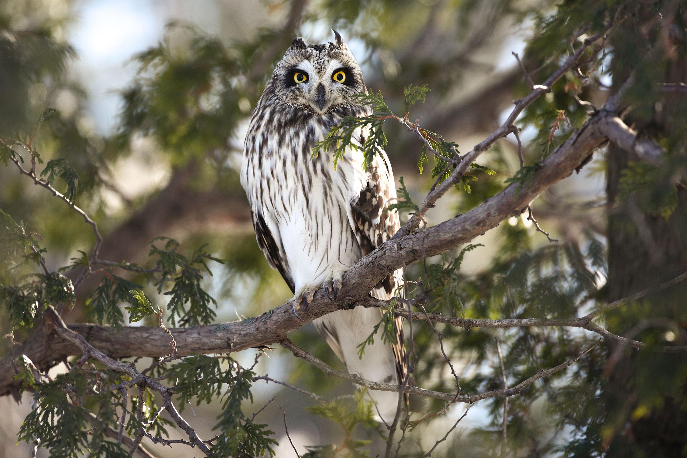 Short-eared Owl. Sandra and Frank Horvath/Great Backyard Bird Count