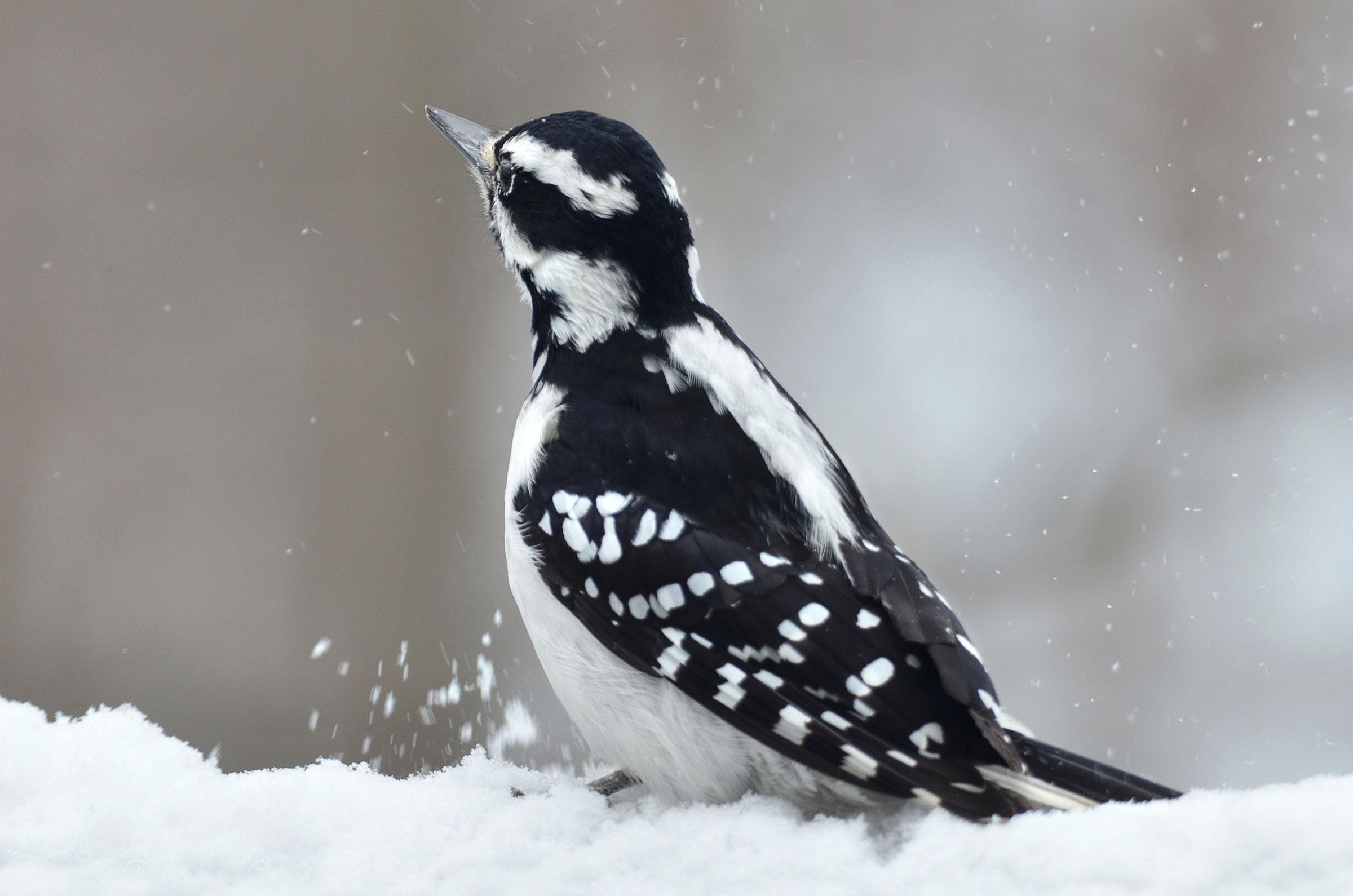 Hairy Woodpecker. Ewa Mutzenmore/Great Backyard Bird Count