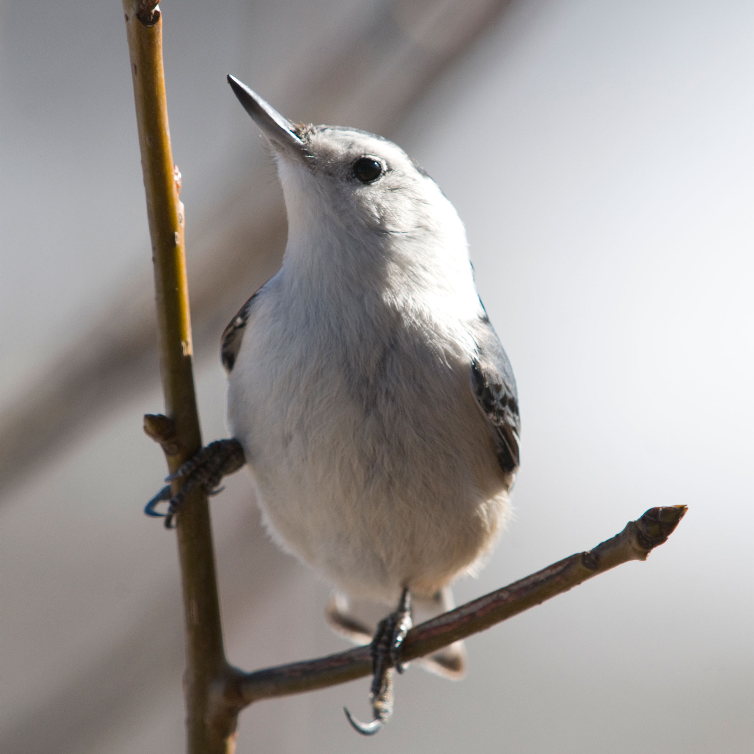 White-breasted Nuthatch. Michele Black/Great Backyard Bird Count