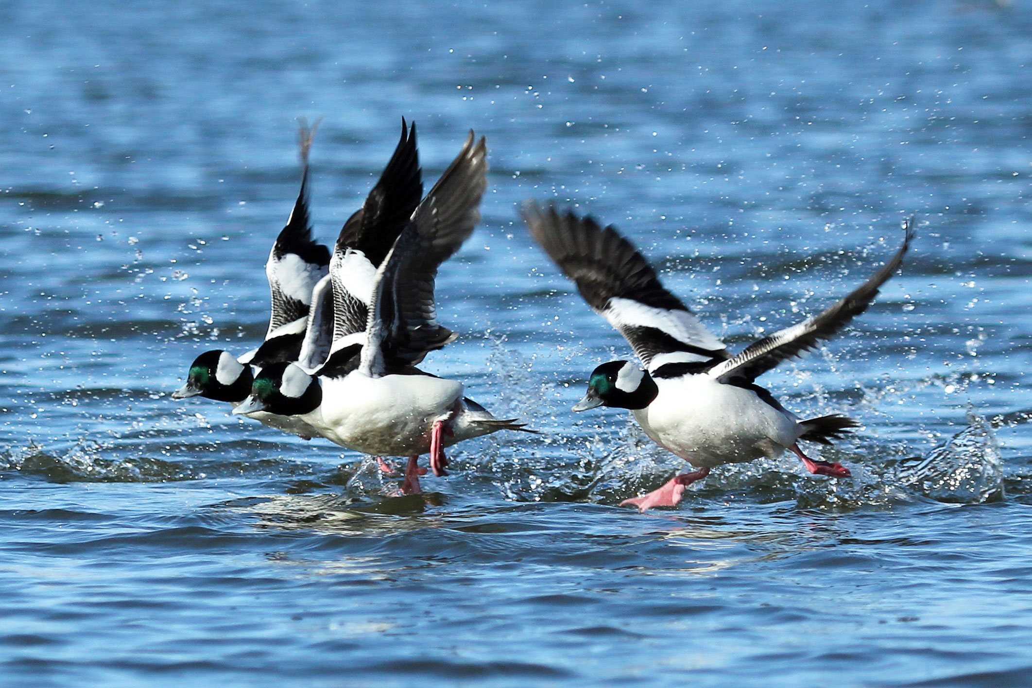 When male Buffleheads are in flight, their bold white wing patches make a good field mark. John West/Great Backyard Bird Count