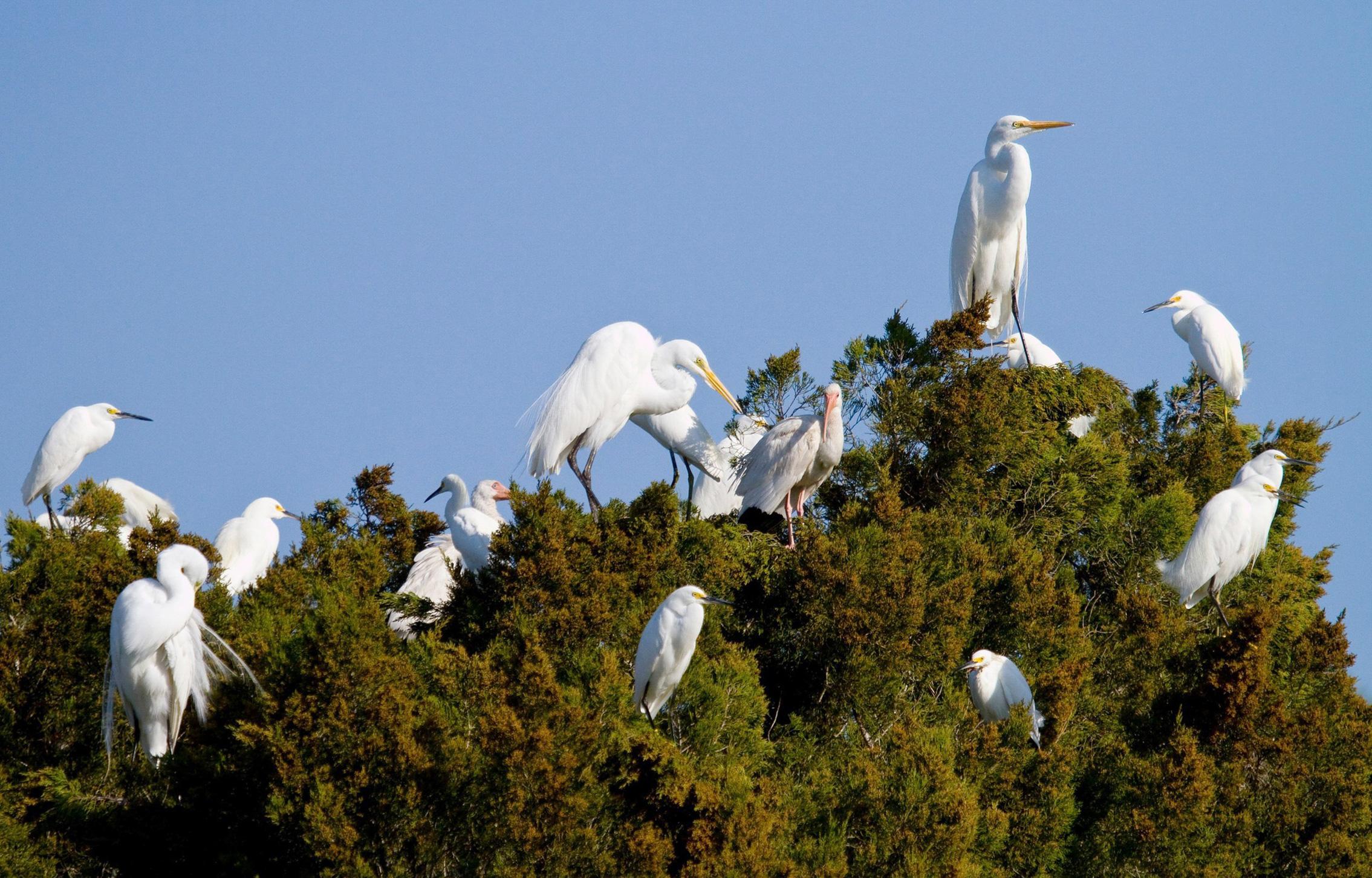 Great Egrets, Snowy Egrets, and White Ibises. Mark Eden/Audubon Photography Awards