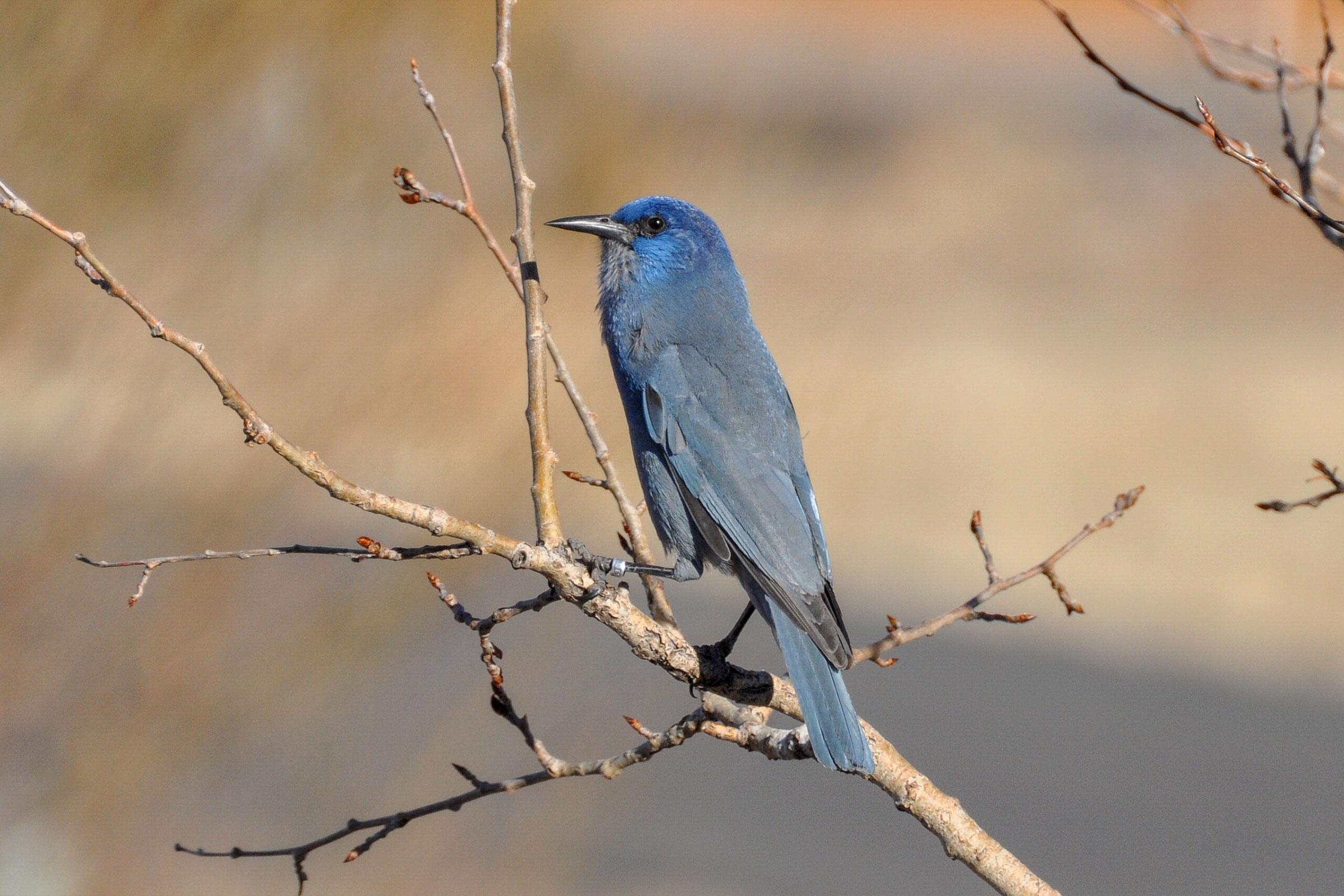 Pinyon Jay. Pam Koch/Great Backyard Bird Count