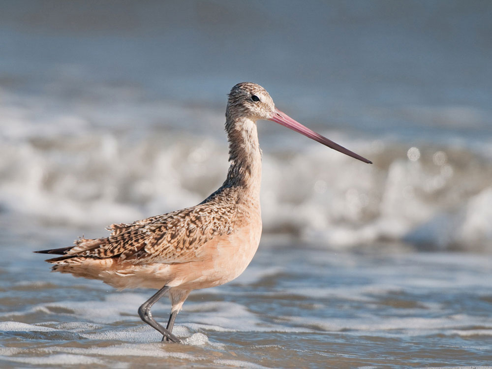 Marbled Godwits flock to Humboldt Bay by the thousands on their annual migration. Phil Fowler/Audubon Photography Awards