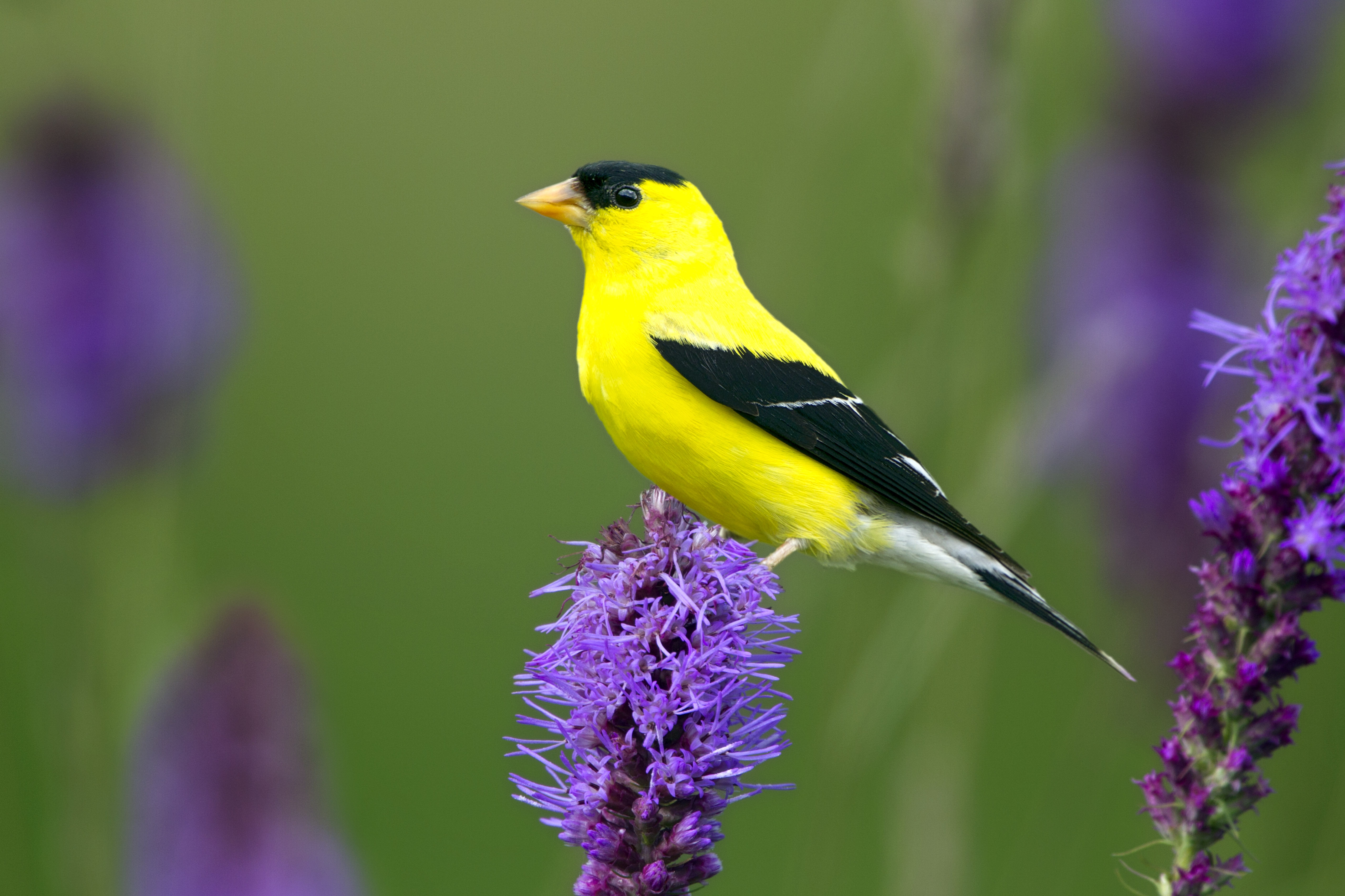 American Goldfinch on blazing star. Dave Maslowski