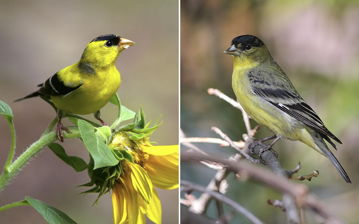 From left: American Goldfinch. Photo: Megumi Aita/Audubon Photography Awards; Lesser Goldfinch. Photo: Lou Orr/Great Backyard Bird Count