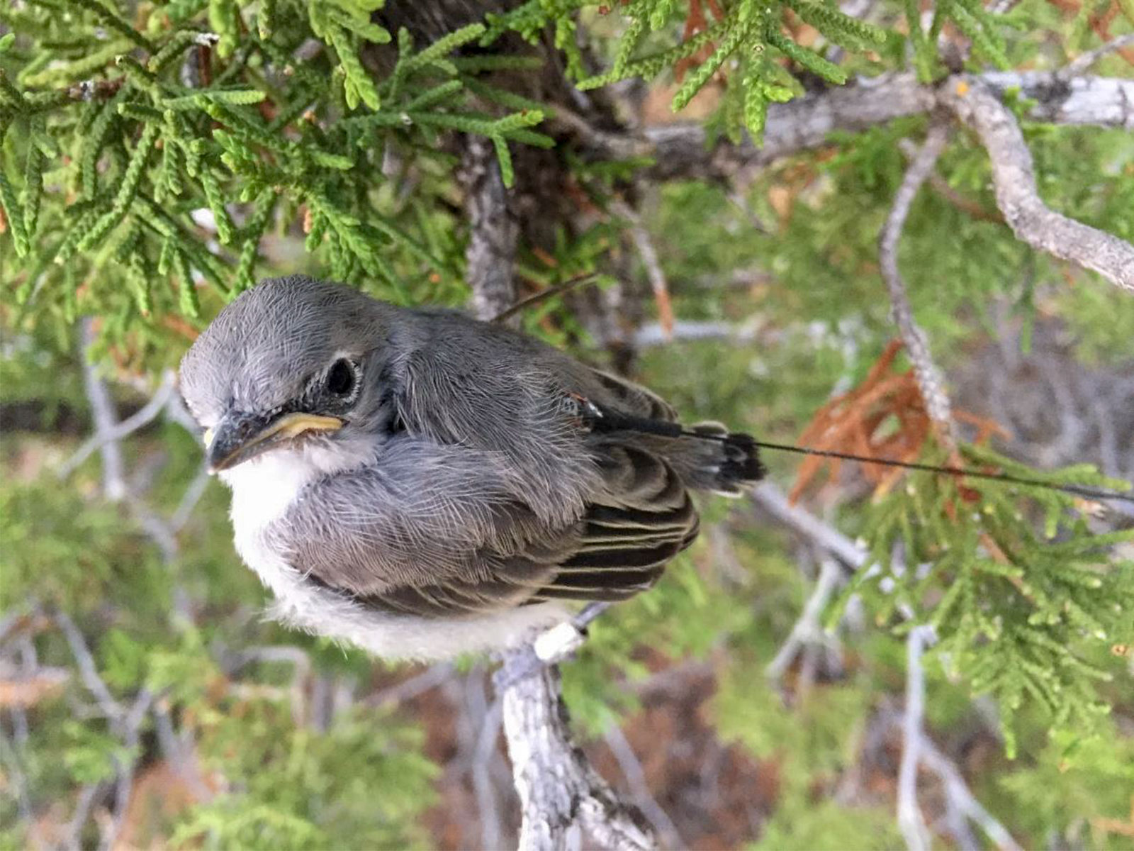 Gray Vireo fledgling wearing a radio transmitter. Silas Fischer