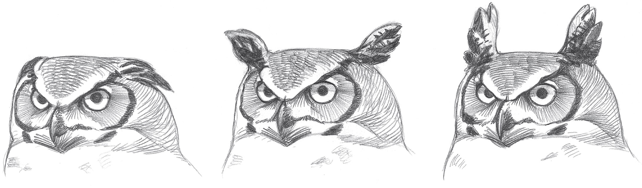 A Great Horned Owl with horns raised and lowered. Illustration: David Allen Sibley