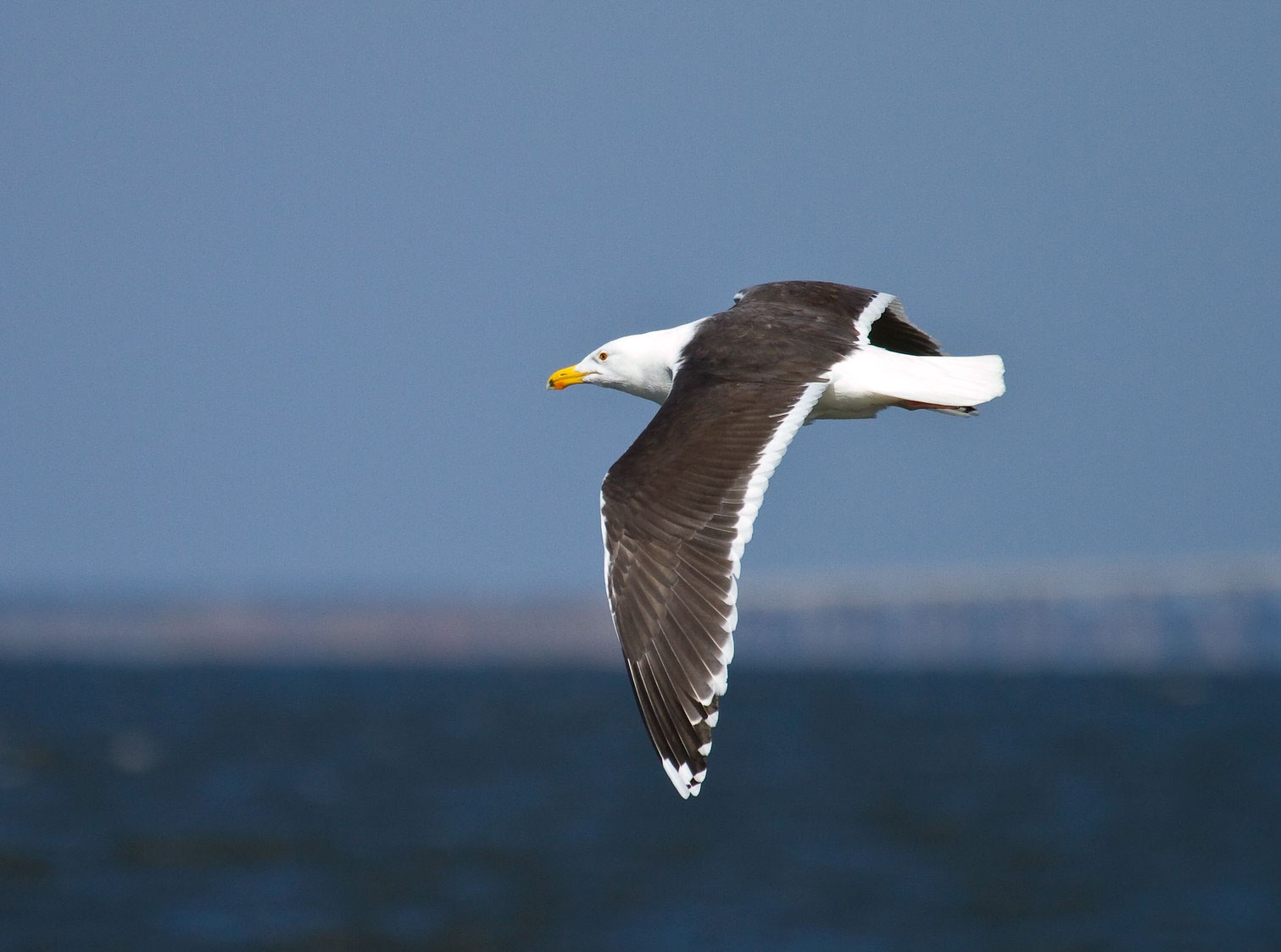 """Simplified tip no. 2: The Great Black-backed Gull is """"a fairly sedentary gull, spending much of its time loafing on the beach, resting on the water, or standing atop an elevated post or light fixture."""" Mark Eden/Great Backyard Bird Count"""
