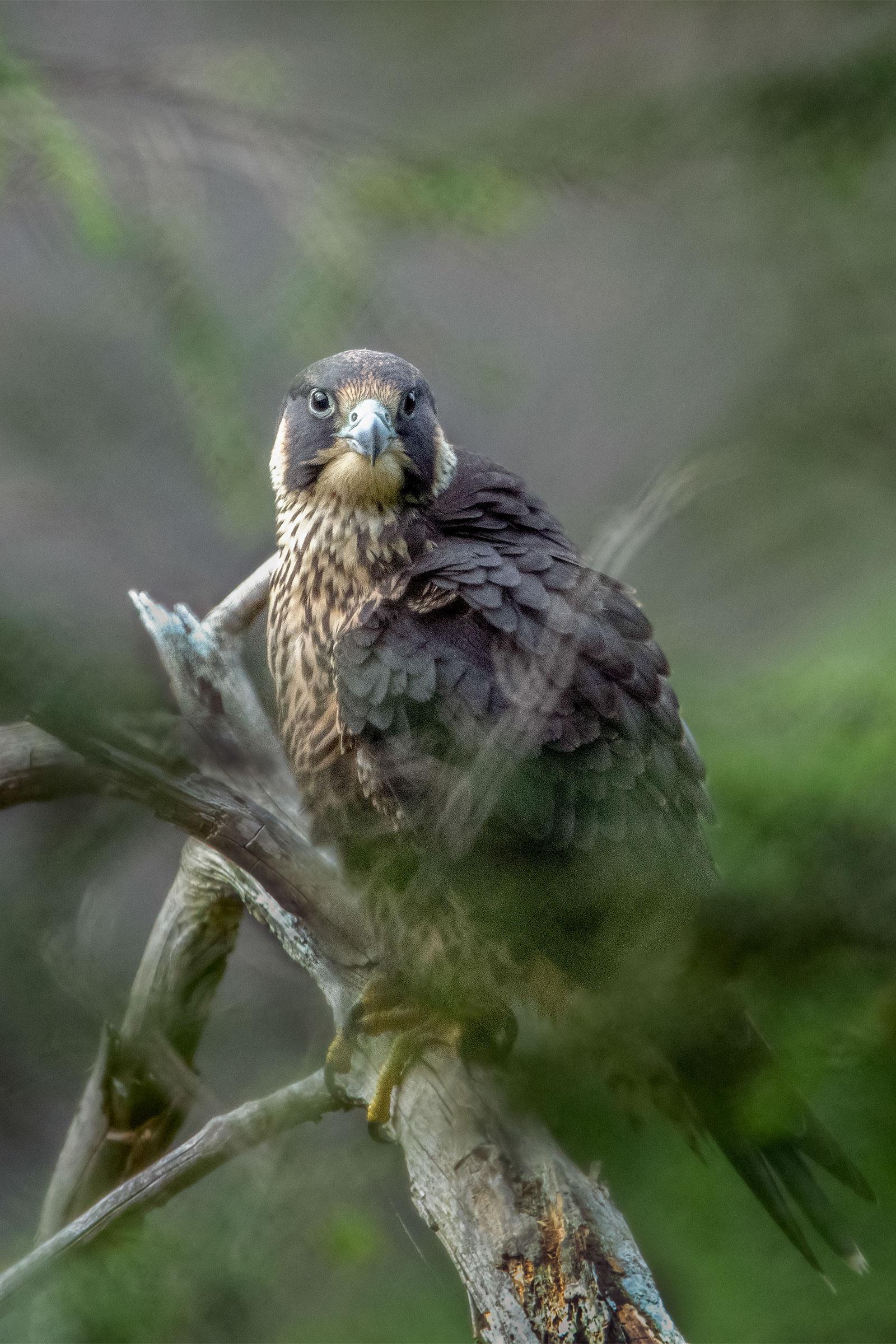 Juvenile Peregrine Falcon at Taughannock Falls, July 2020. Melissa Groo