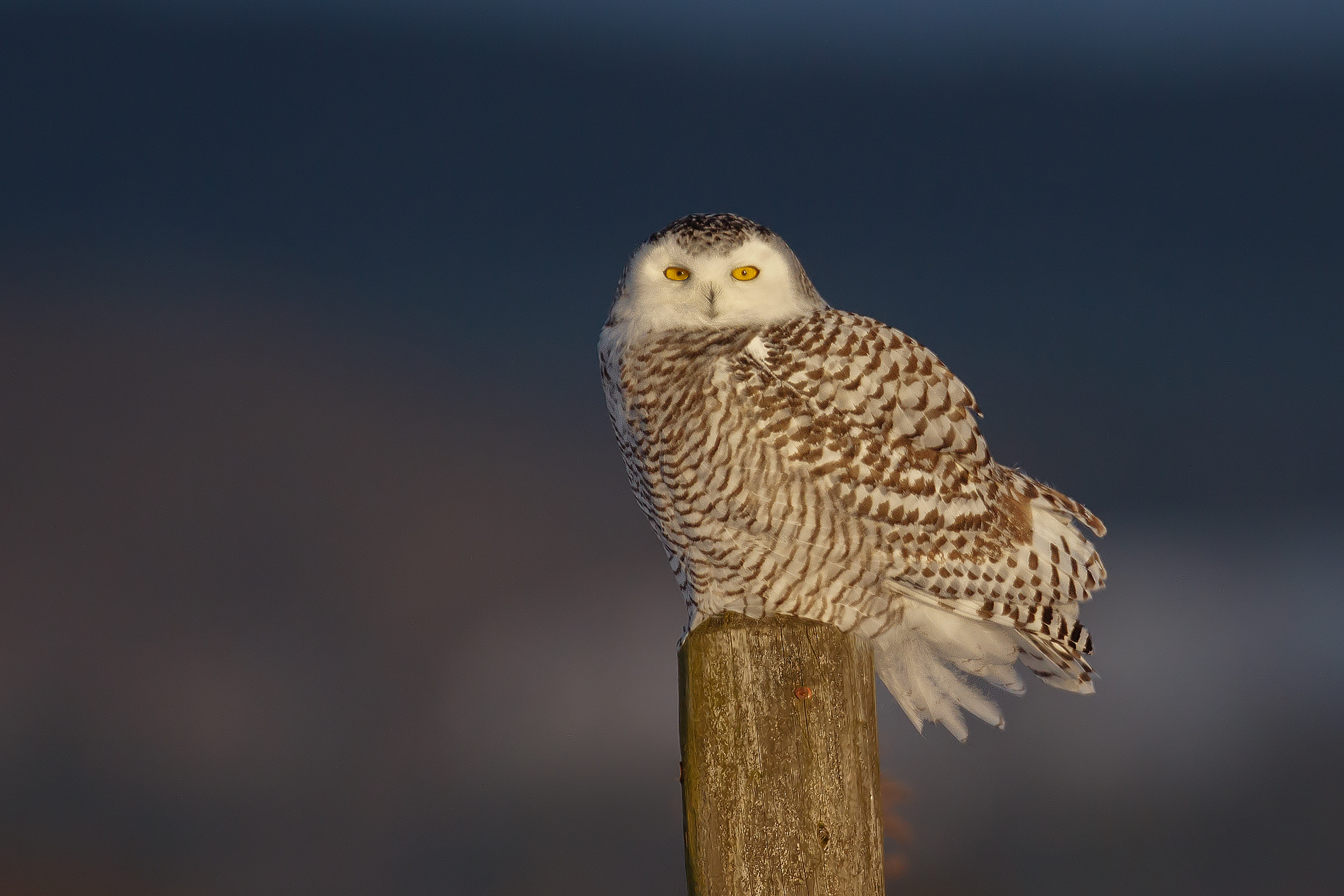 Snowy Owl. Melissa Groo