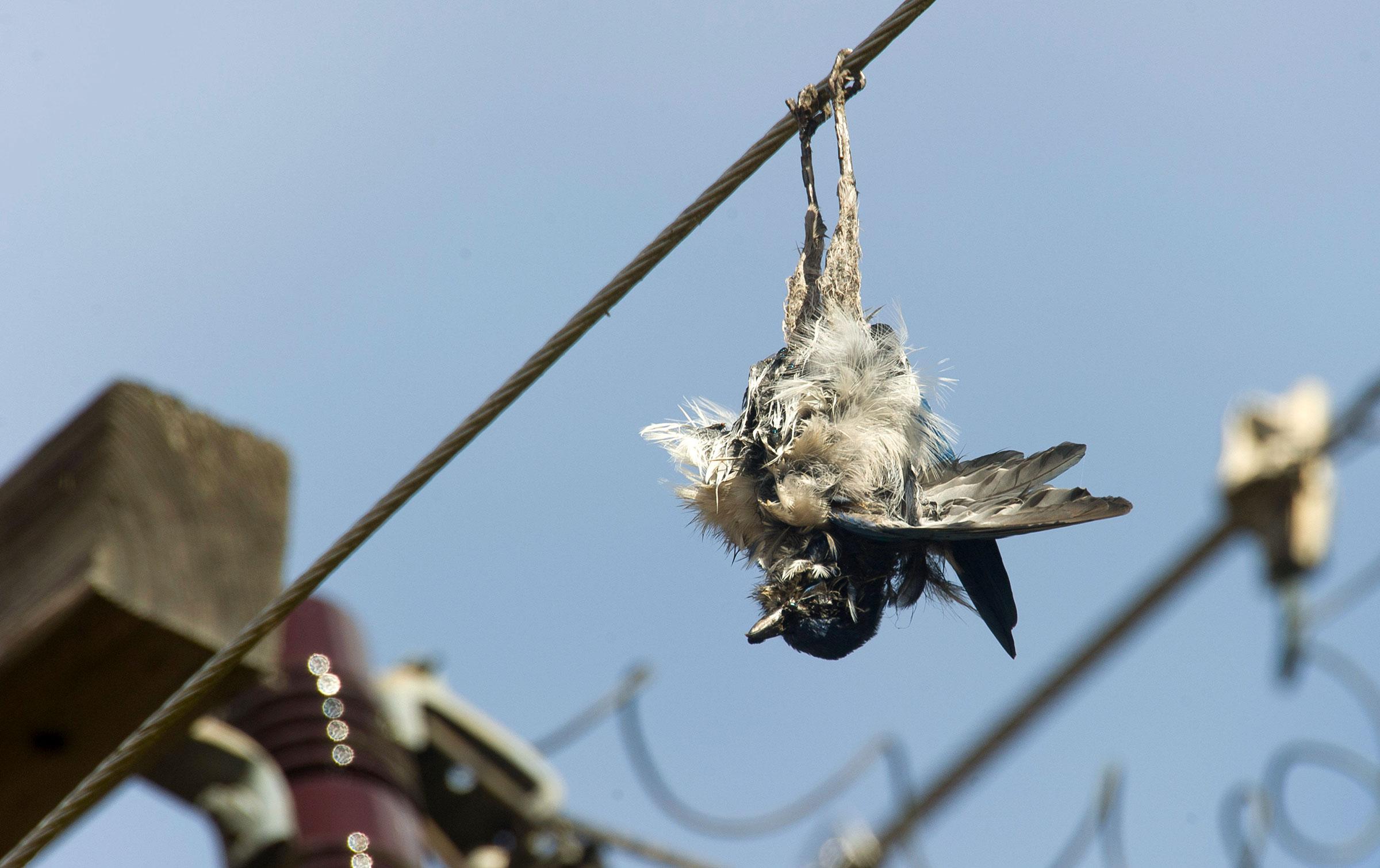 An electrocuted California Scrub-Jay hangs from a power line in Oregon. ZUMA Press Inc./Alamy