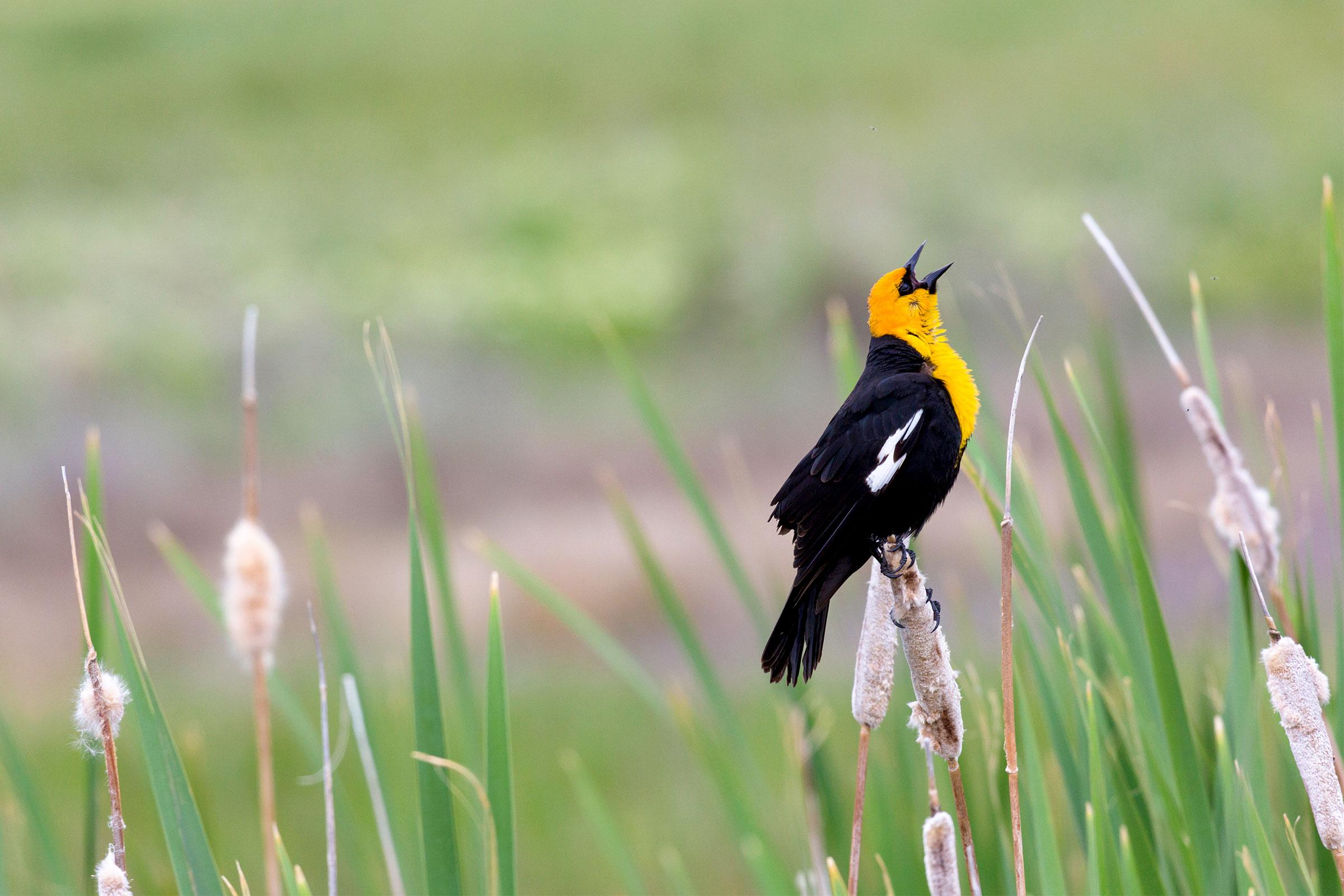 Yellow-headed Blackbird at the Great Salt Lake. Florence McGinn/Alamy
