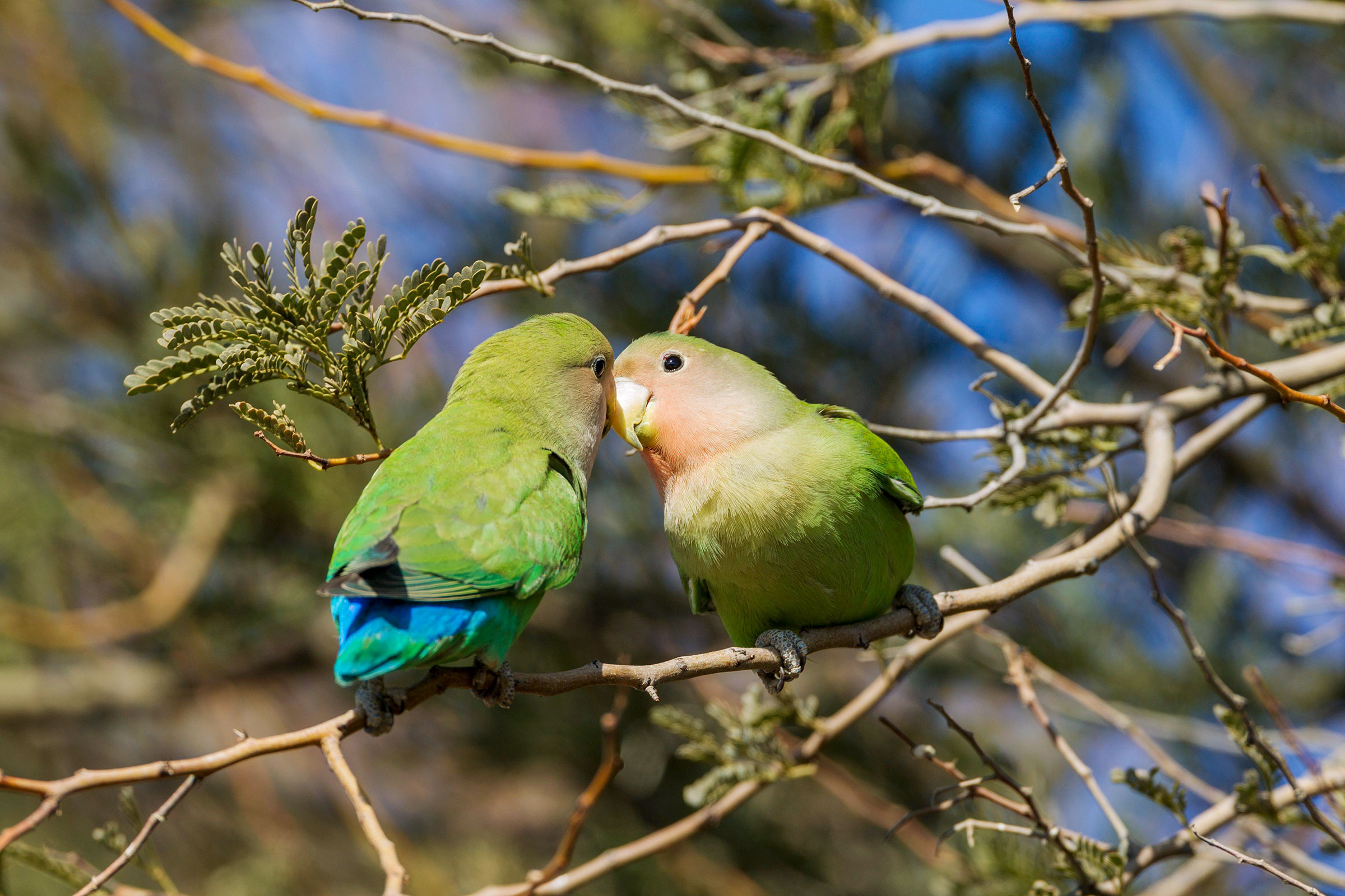 It's impossible to resist personifying these Rosy-faced Lovebirds as expert snugglers. Thomas Dressler/Alamy