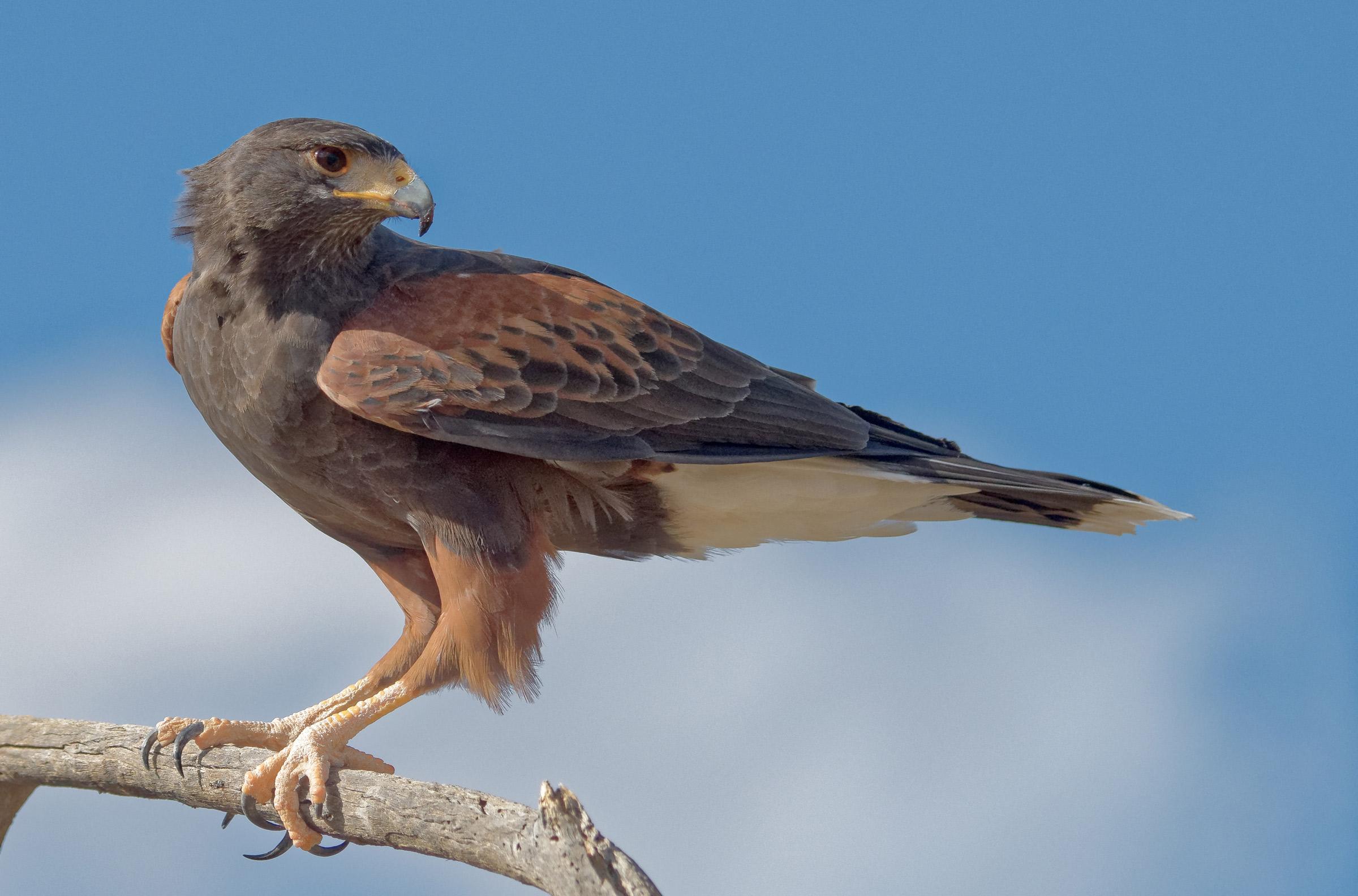 Harris's Hawk | Audubon Field Guide