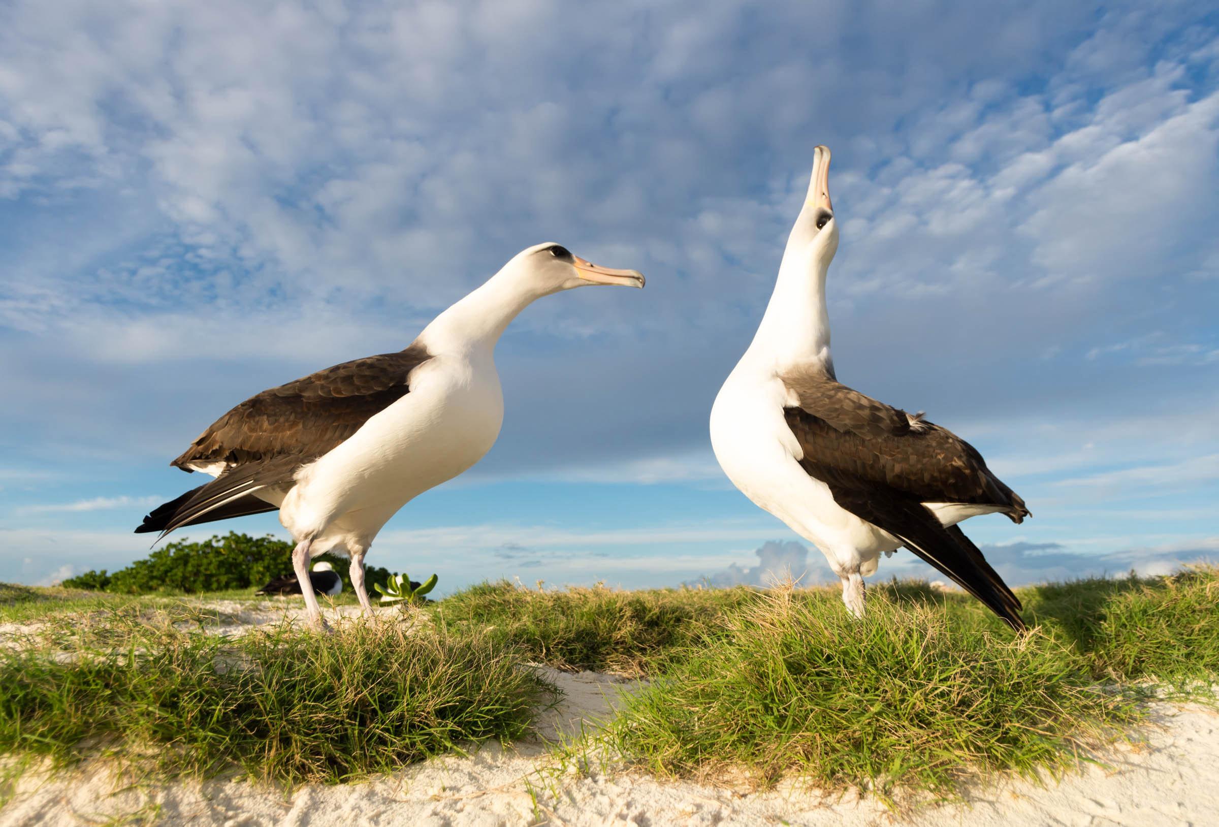 Albatros de Laysan   Guía de Aves