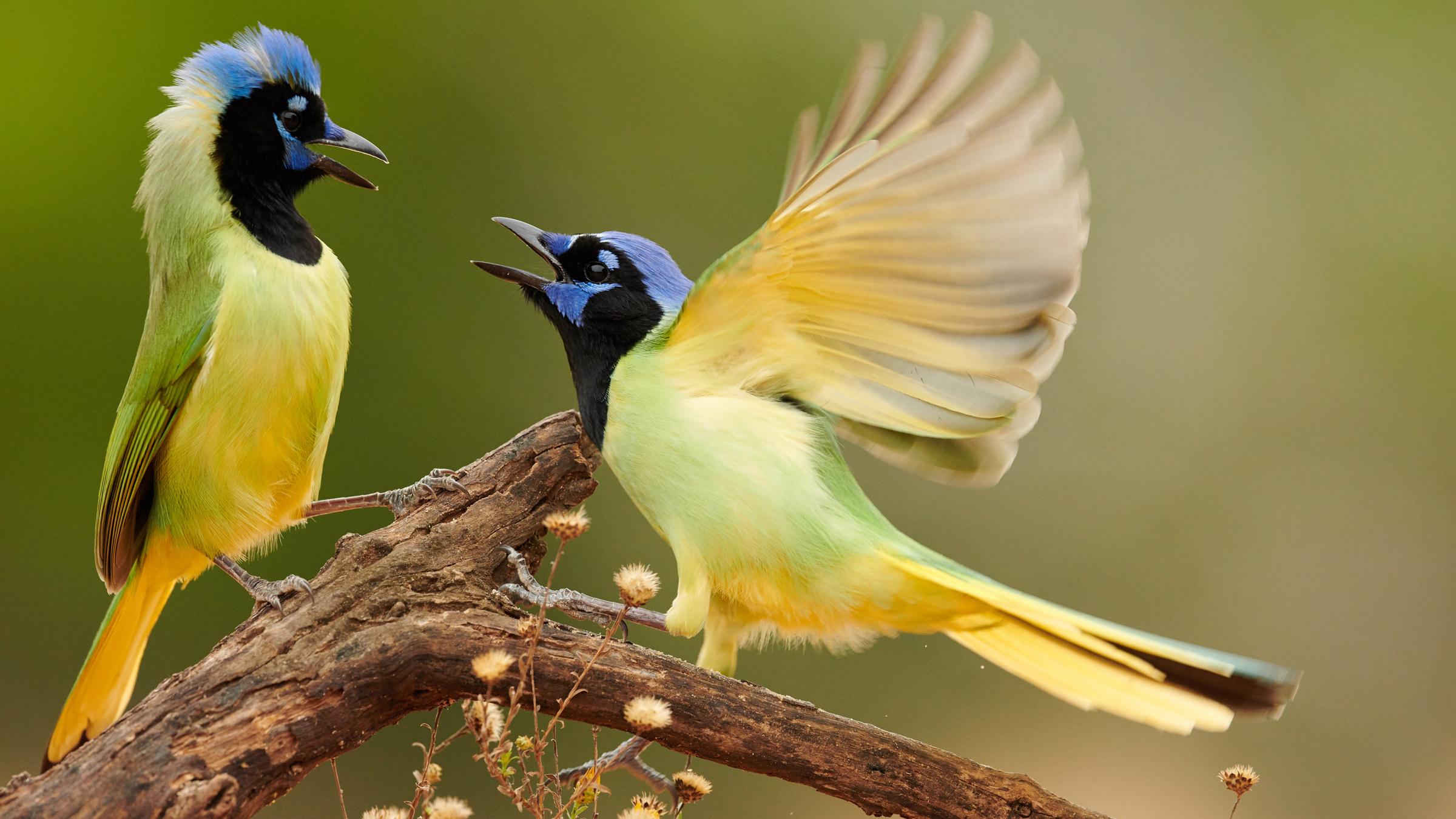 Green Jay Audubon Field Guide