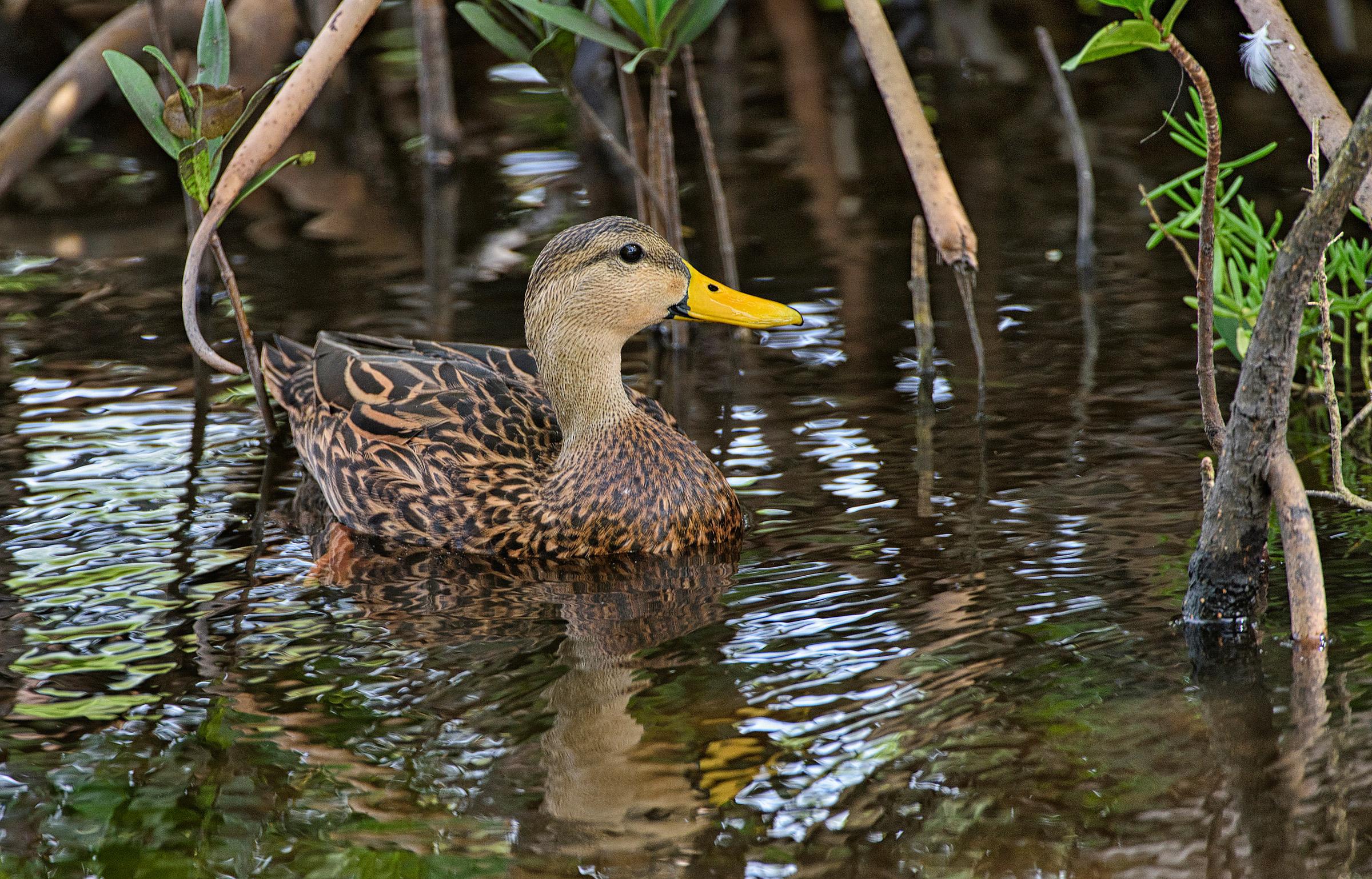 Mottled Duck   Audubon Field Guide