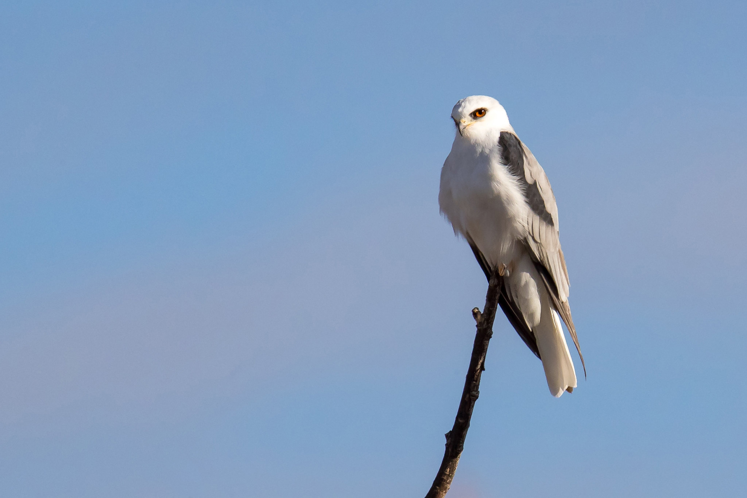 White-tailed Kite | Audubon Field Guide