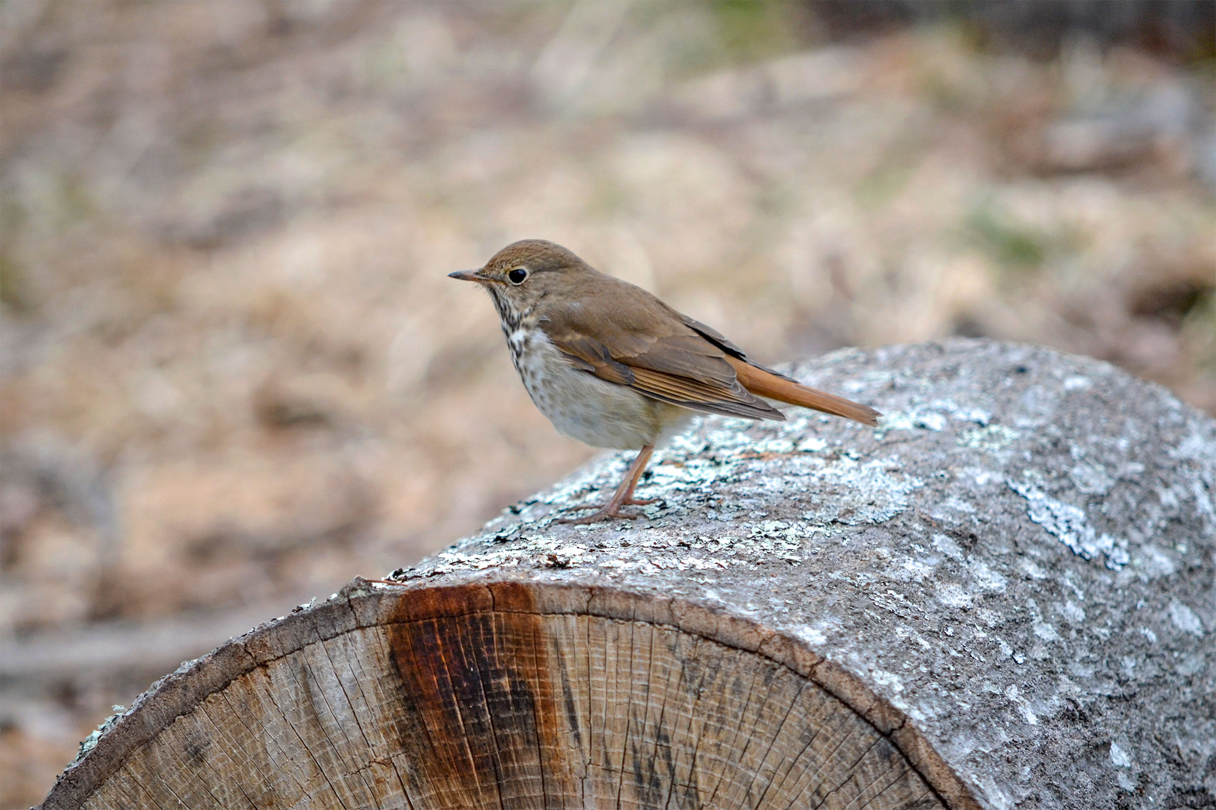 Hermit Thrush populations are significantly lower in Minnesota and Wisconsin forests where European earthworms are present. Jumping worms will likely exacerbate these effects. Laura Sprinkle/Great Backyard Bird Count