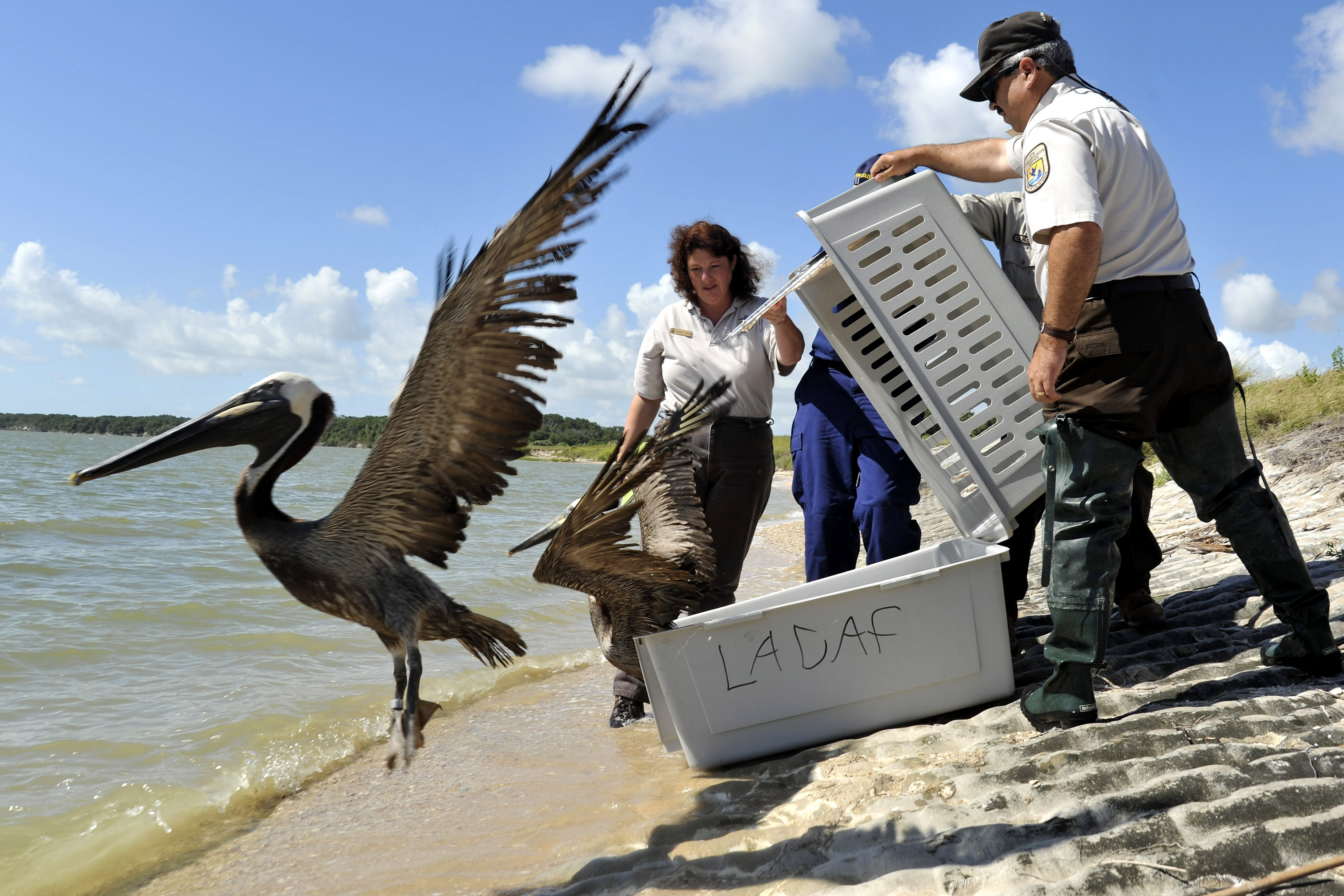 Rehabilitated Brown Pelicans are released in Port Aransas, Texas in June 2010. Petty Officer 3rd Class Robert Brazzel/U.S. Coast Guard