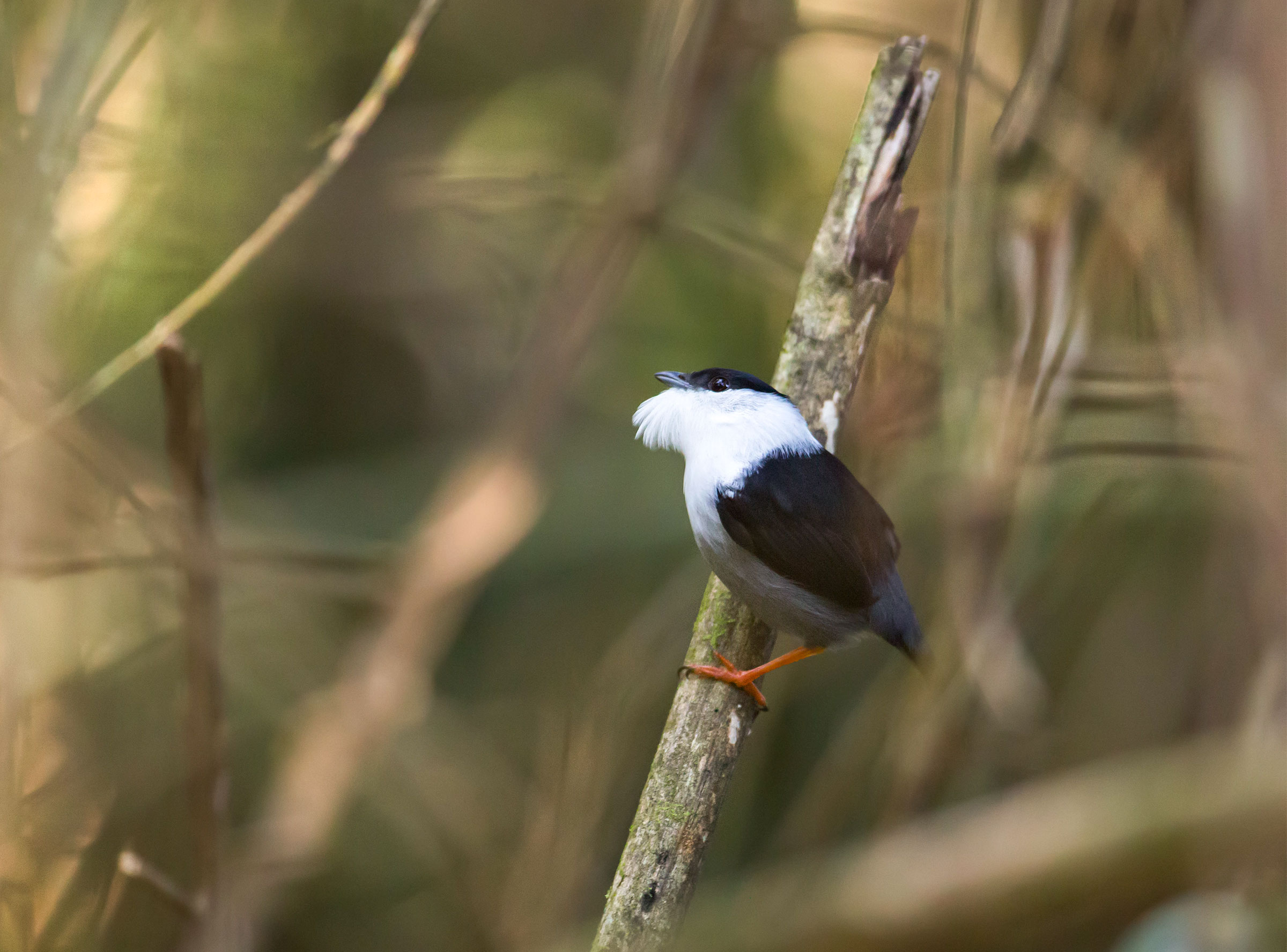 When they're feeling lekky, White-bearded Manakins gather in groups to snap, crackle, and pop their feathers. National Geographic Creative/Alamy
