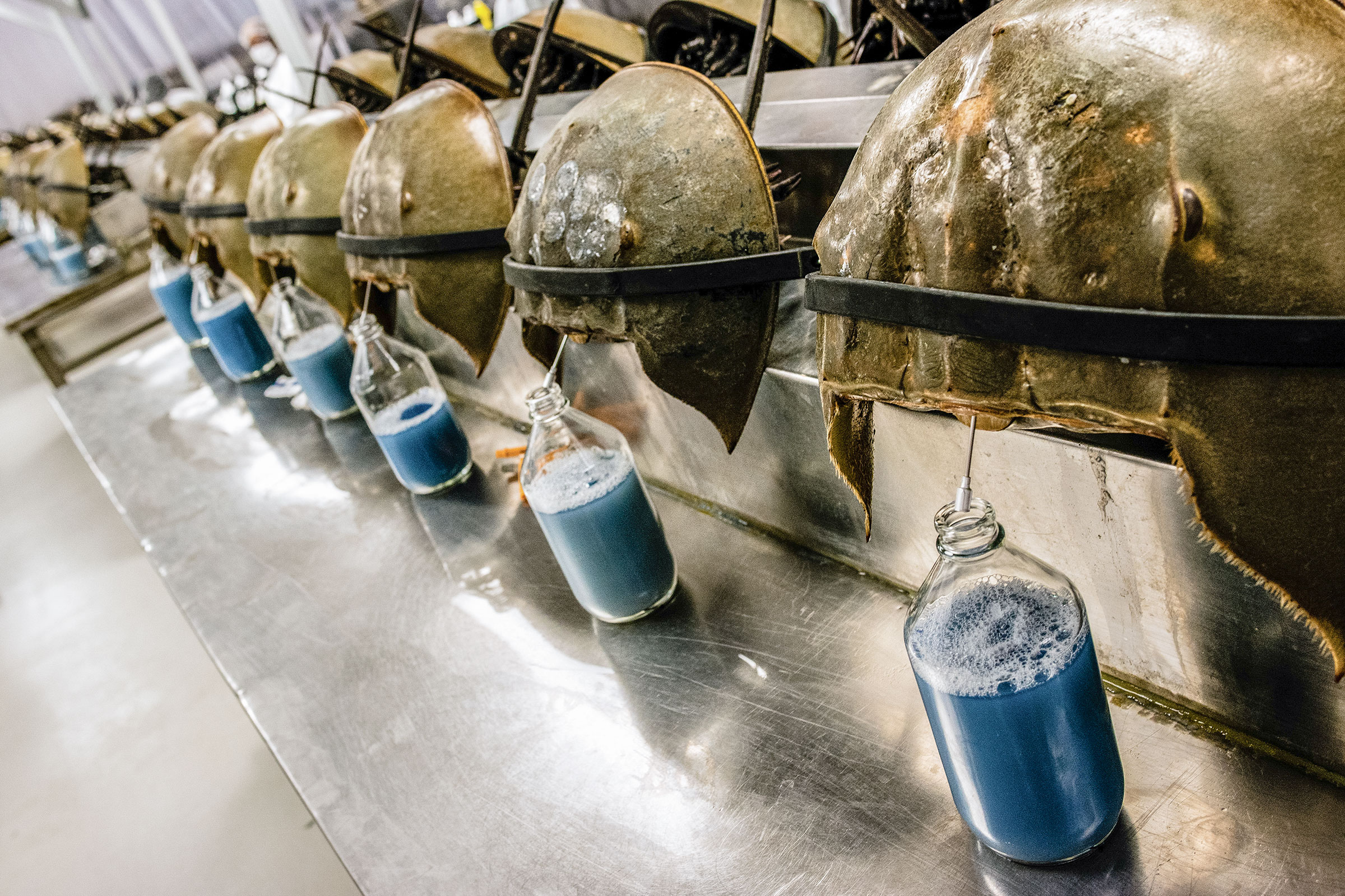 Horseshoe crabs are bled at the Charles River Laboratory in Charleston, South Carolina. Timothy Fadek/Redux