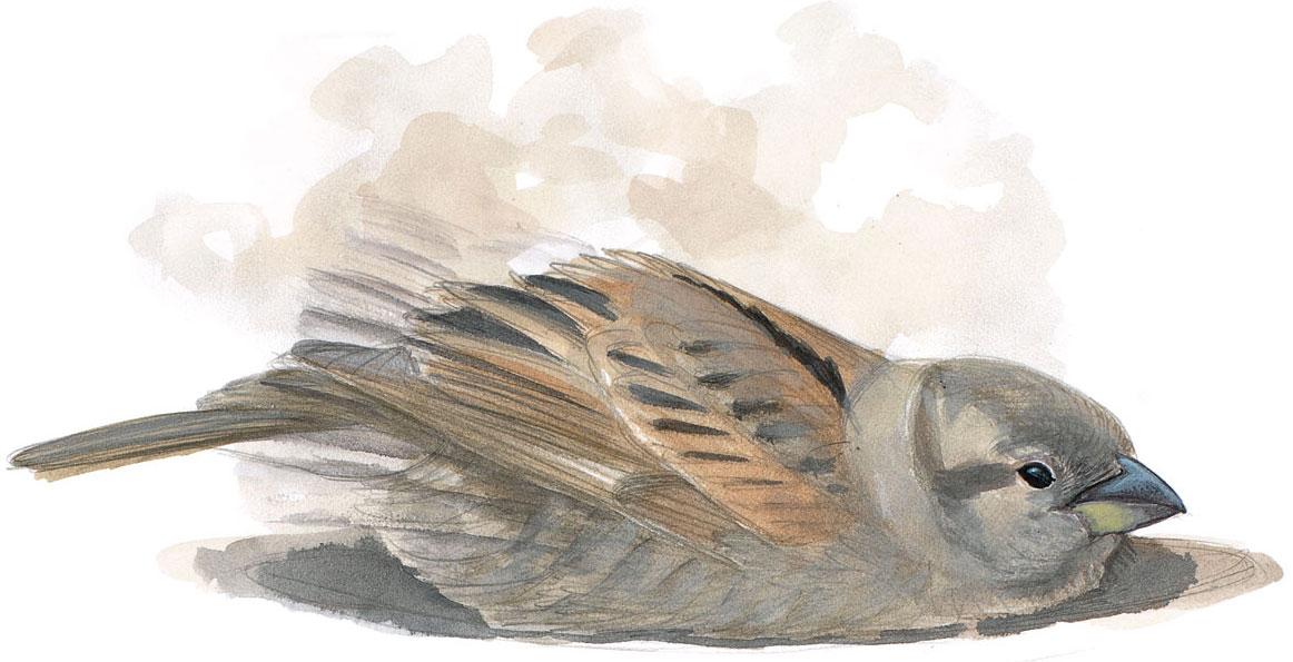 A female House Sparrow dust bathing. Illustration: David Allen Sibley