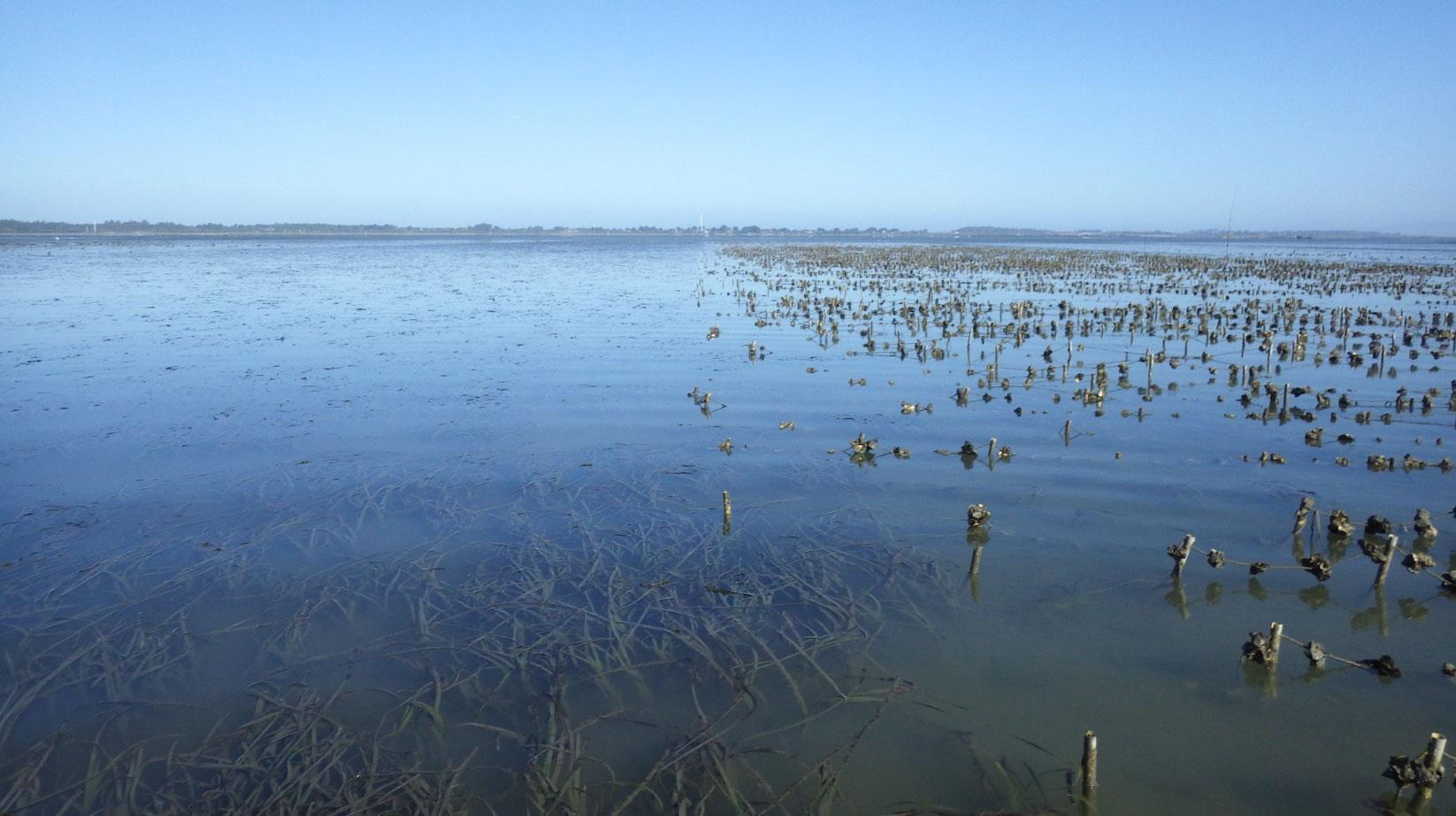 Eelgrass beds near oyster lines in Humboldt Bay. Anna Weinstein