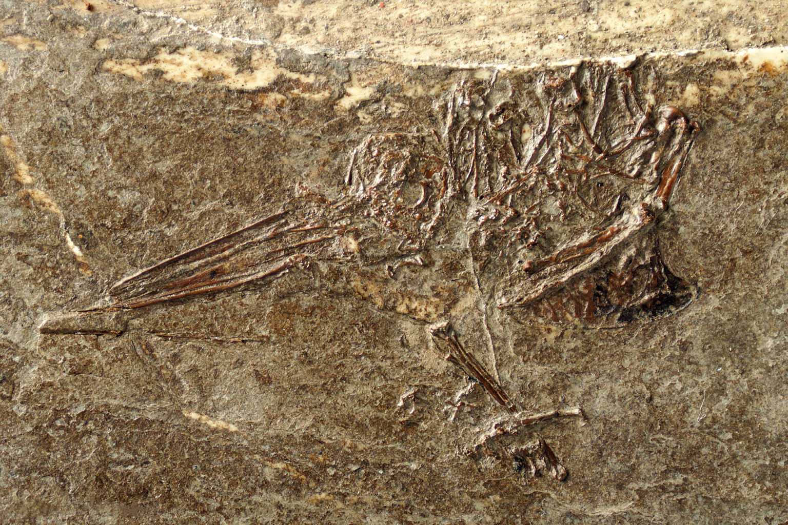 Dug up by private collectors in Frauenweiler, Germany, Eurotrochilus inexpectatus was identified as an ancient hummingbird, largely by the structure of its wings. Sven Tränkner/Senckenberg Research Institute