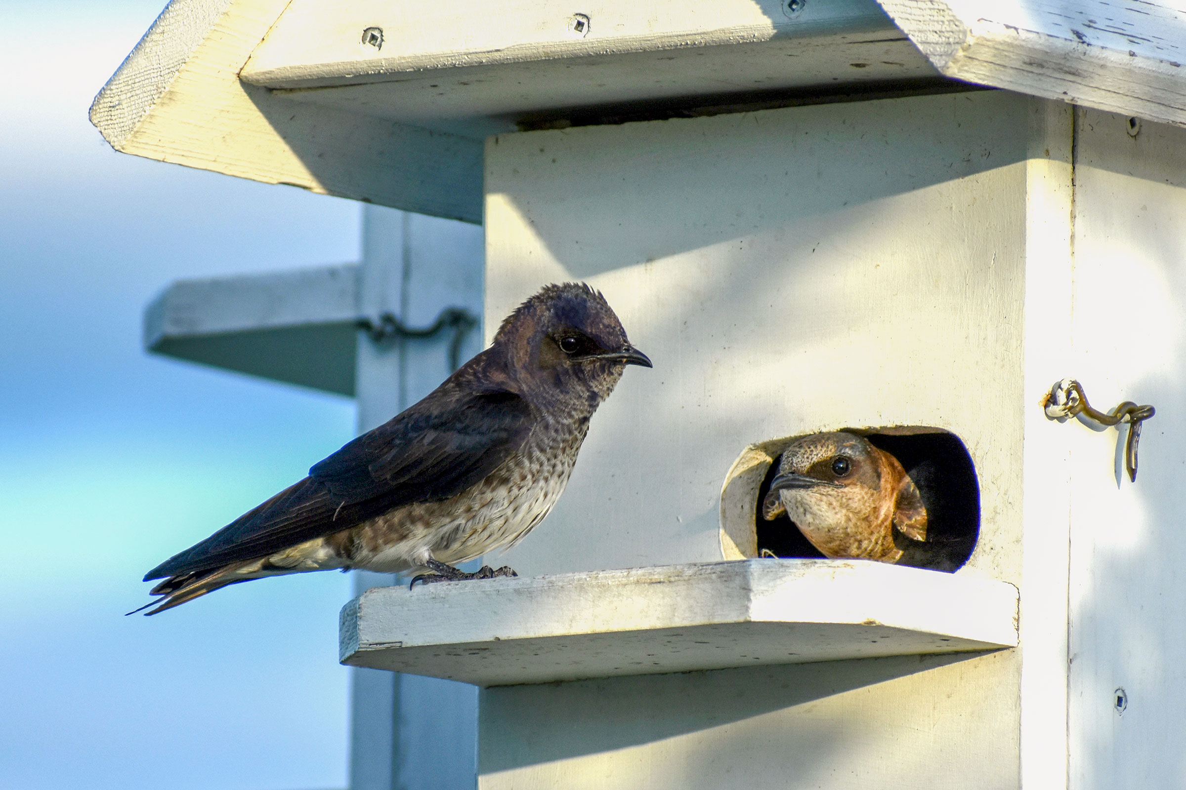 Purple Martins are common users of nest boxes. Here, a male bird, with a purple wash, sits on the ledge of a white birdhouse; a female peeks her head out of the small, round entrance. Reyd Smith