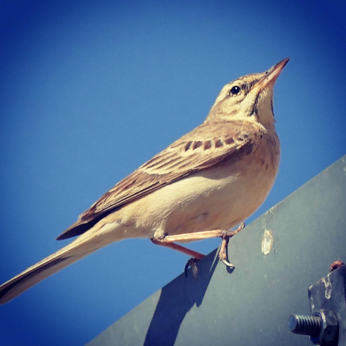 This Tawny Pipit was Noah's 3,000th bird of the year. Noah Strycker