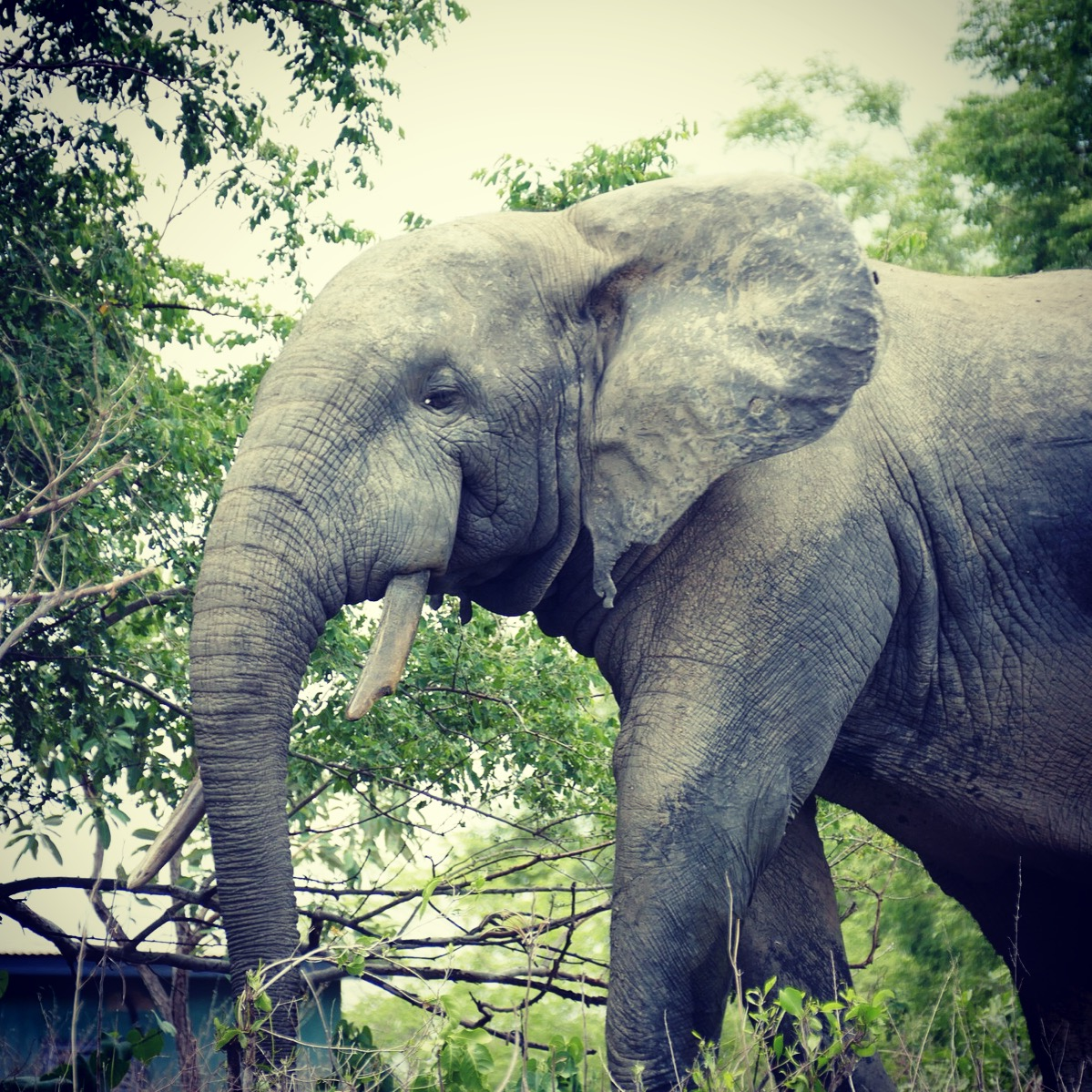 A large elephant approaches the hotel restaurant at Mole National Park. Noah Strycker