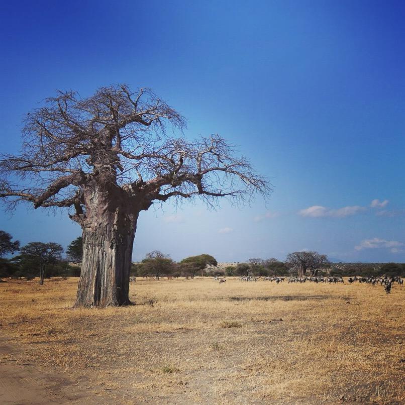 A baobab tree looks over grazing wildebeest at Tarangire. Noah Strycker