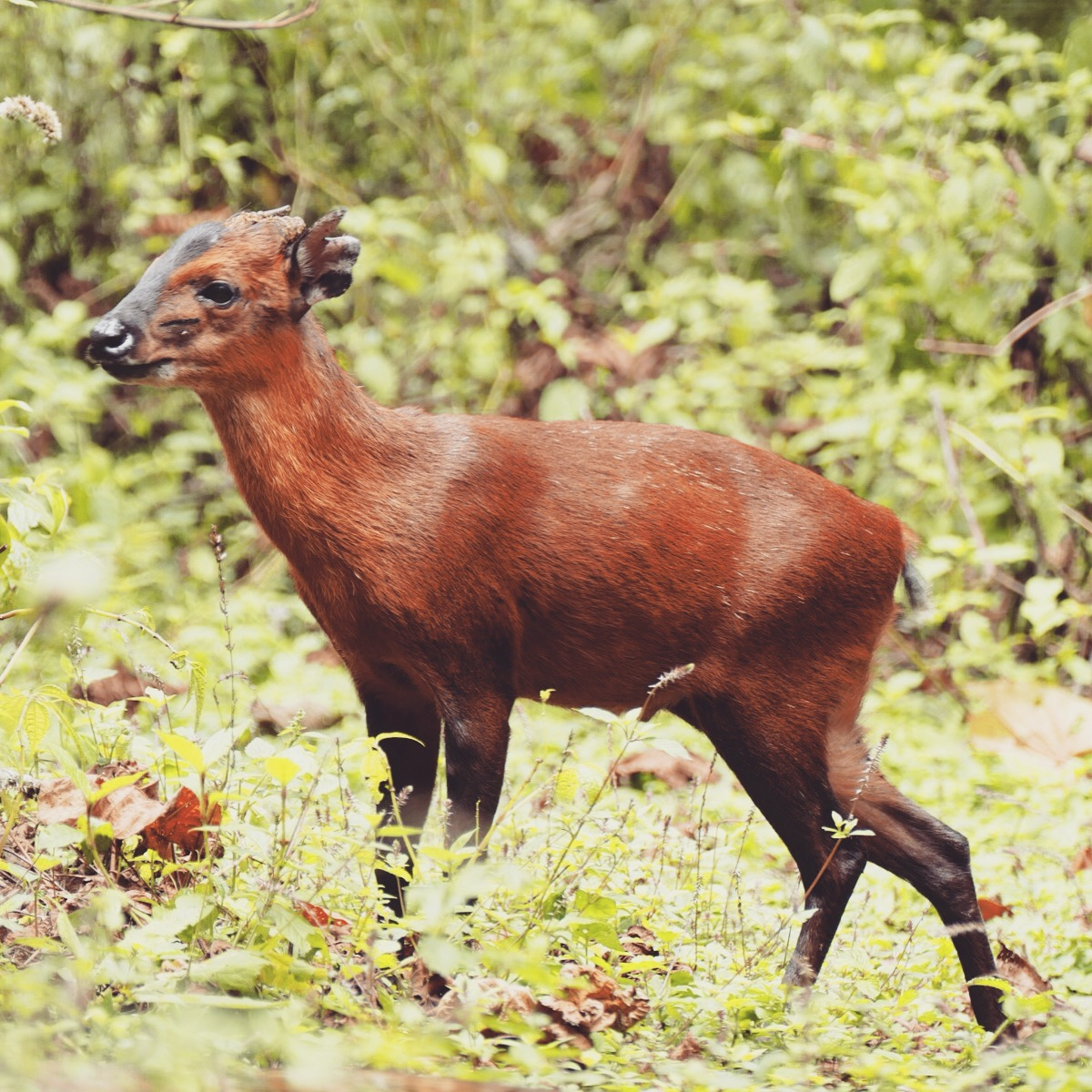 A black-fronted duiker pauses in the Ruhija forest. Noah Strycker