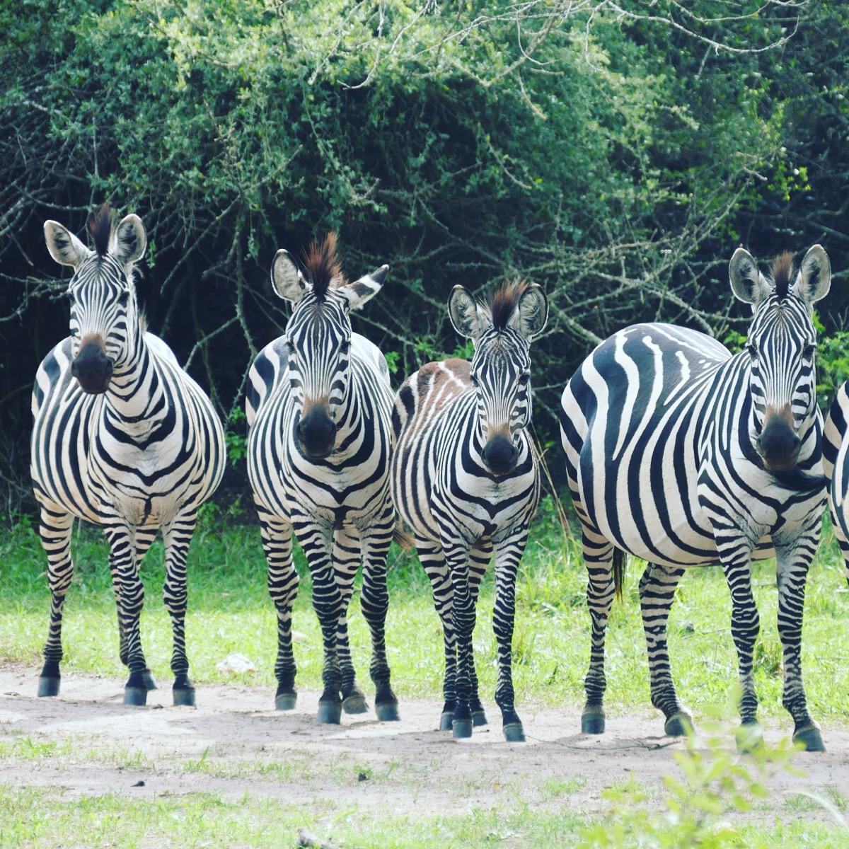 Zebras line up at Lake Mburo. Noah Strycker