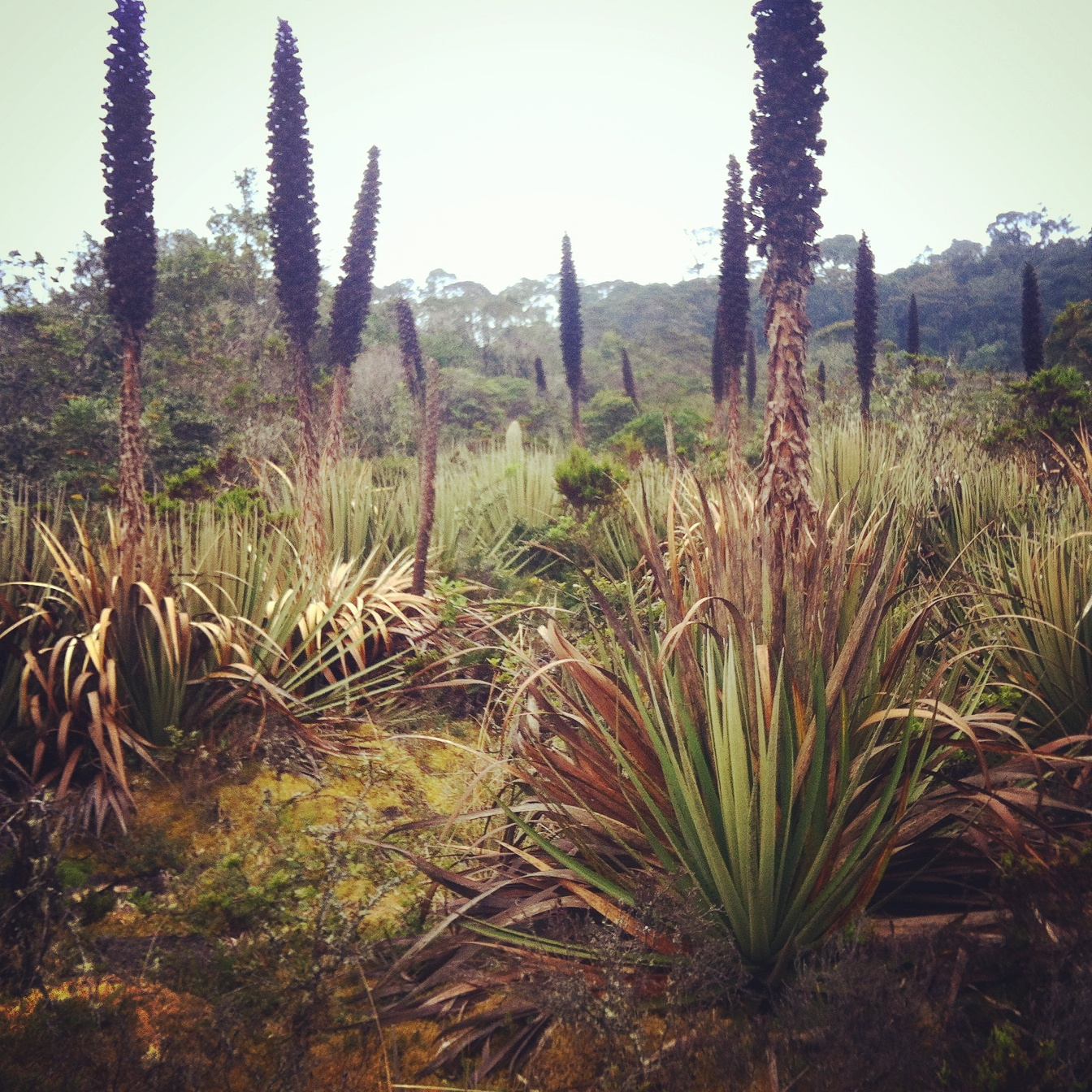 Agave-like puja plants dominate the landscape above tree line at Bosque Guajira, Colombia. Noah Strycker