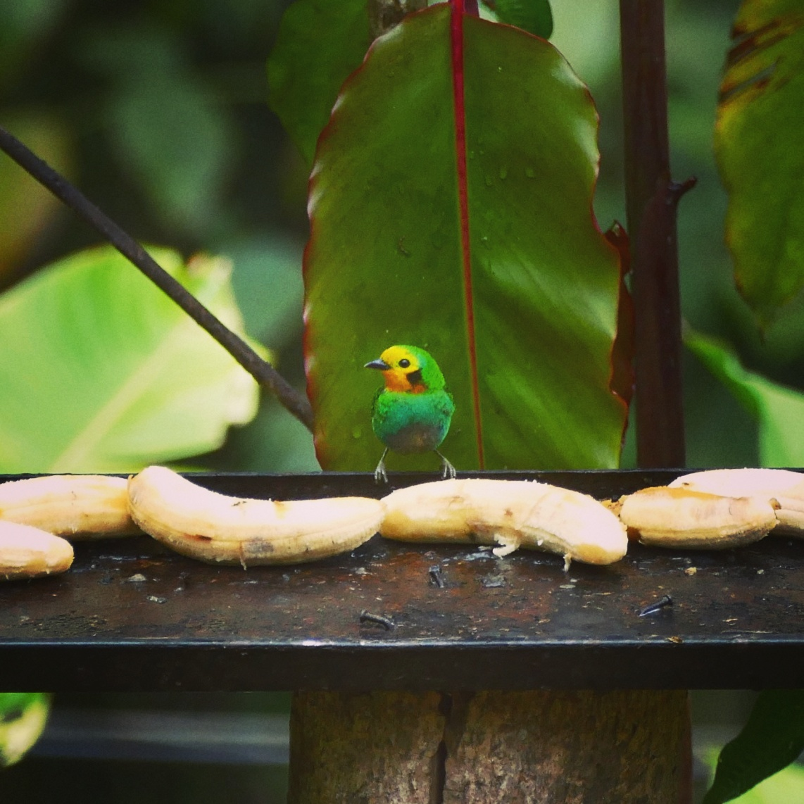 An endemic Multicolored Tanager tries to decide which banana to eat, Colombia. Noah Strycker