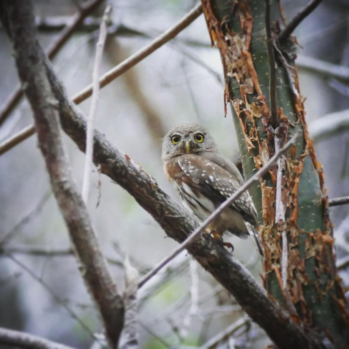A Colima Pygmy-Owl perches at dusk. Noah Strycker