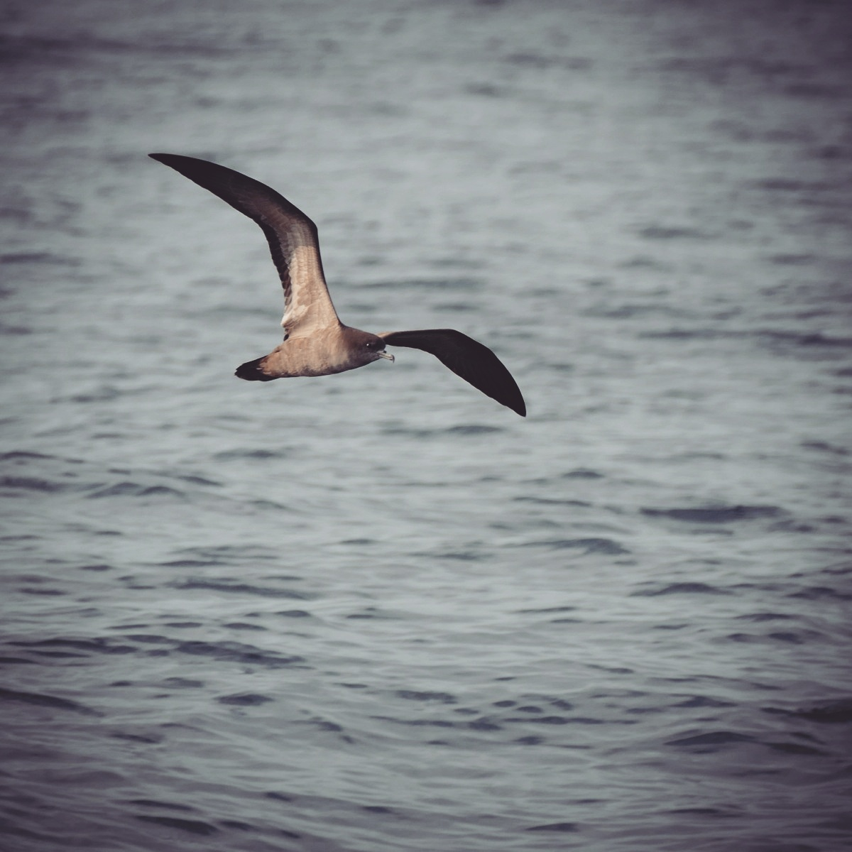 A Wedge-tailed Shearwater flies past about 10 miles off Huatulco. Noah Strycker